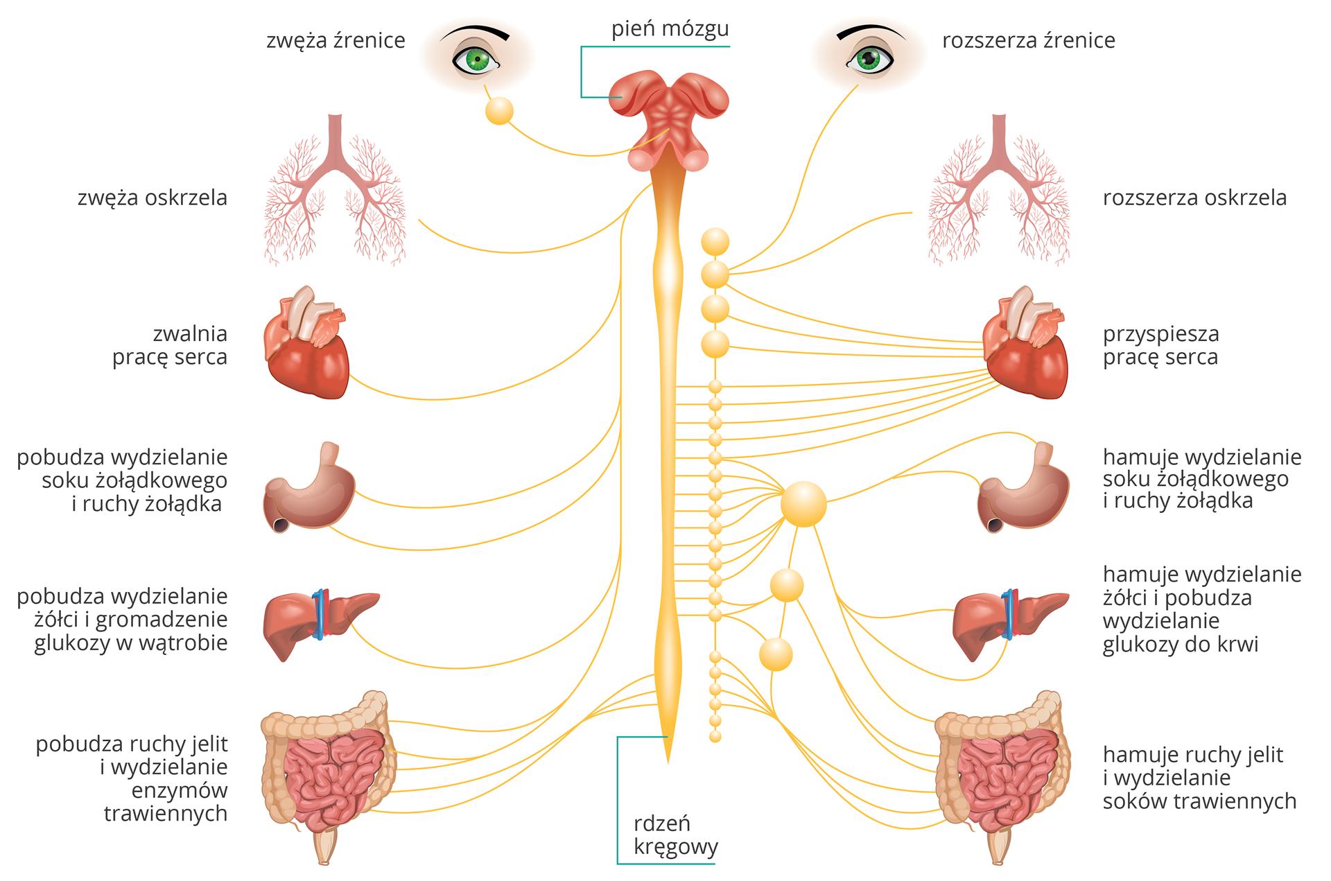 Ilustracja przedstawia schemat przeciwstawnego działania układu współczulnego iprzywspółczulnego. Wcentrum pionowo czerwony pień mózgu iżółty rdzeń kręgowy. Od niego odchodzą żółte nerwy do zwojów inarządów. Zlewej część przywspółczulna, zprawej współczulna autonomicznego układu nerwowego. Jak układ przywspółczulny zwęża (na przykład źrenice lub oskrzela), to drugi je rozszerza. Jak przywspółczulny zwalnia pracę serca, to współczulny ją przyspiesza. Jak jeden pobudza (na przykład pracę układu pokarmowego), to współczulny ją hamuje.