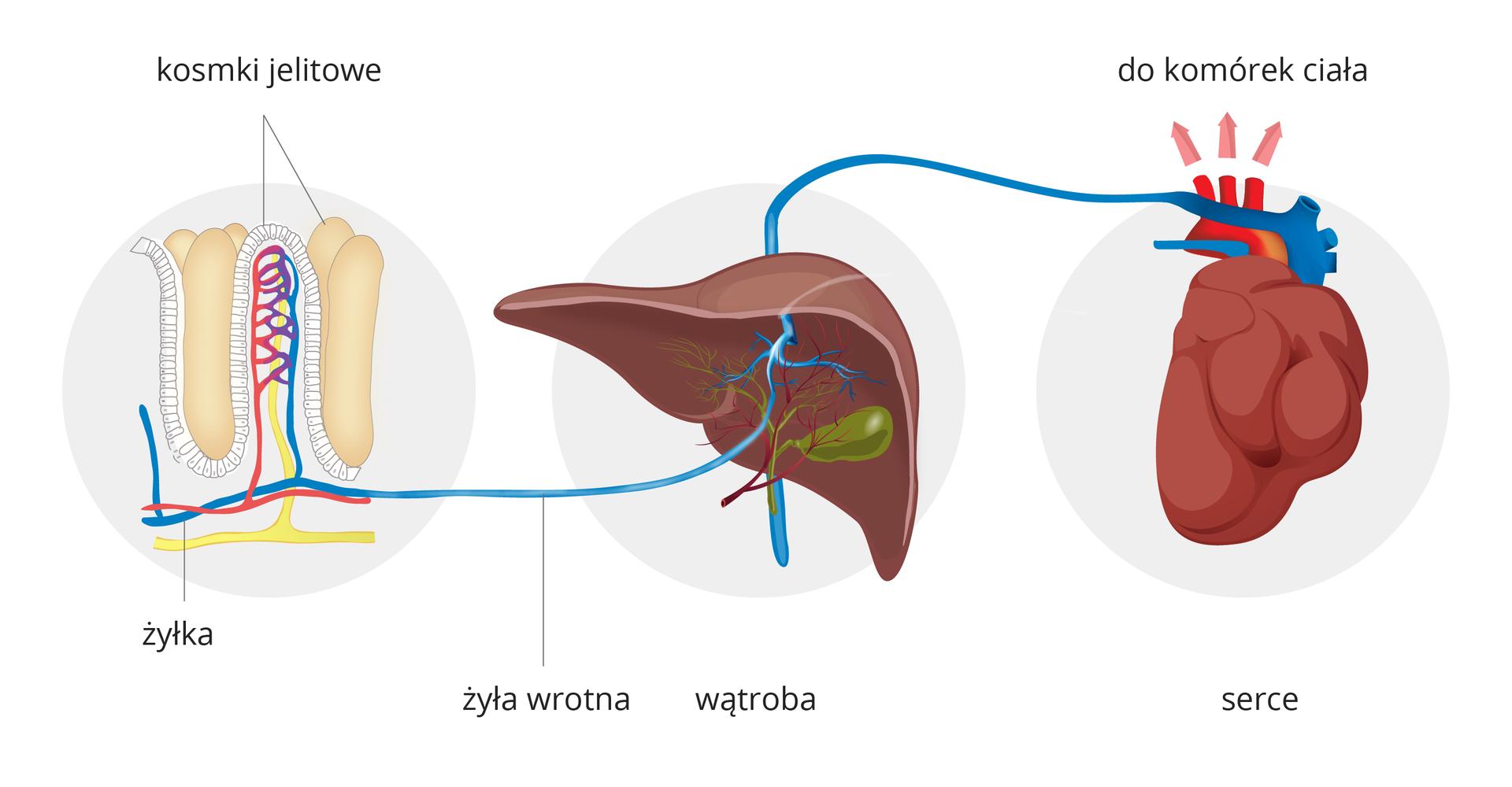 Ilustracja przedstawia schematycznie drogę strawionego pokarmu do komórek ciała. Na tle trzech szarych kół narządy człowieka. Od lewej kosmki jelitowe wprzekroju. Tu do żył inaczyń limfatycznych wchłaniane są składniki pokarmowe. Od kosmka błękitna żyłka biegnie do wątroby, podpisana jako żyła wrotna. Zwątroby żyłami krew dociera do serca. Różowe strzałki nad łukiem aorty wskazują, że składniki pokarmowe wchłonięte wjelitach trafiają do komórek ciała.