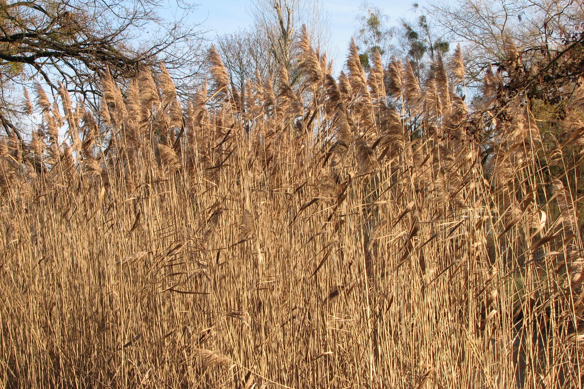 Fotografia przedstawia łan pożółkłych trzcin. Wtle są drzewa. Trzcina jest byliną, wytwarzającą kłącze
