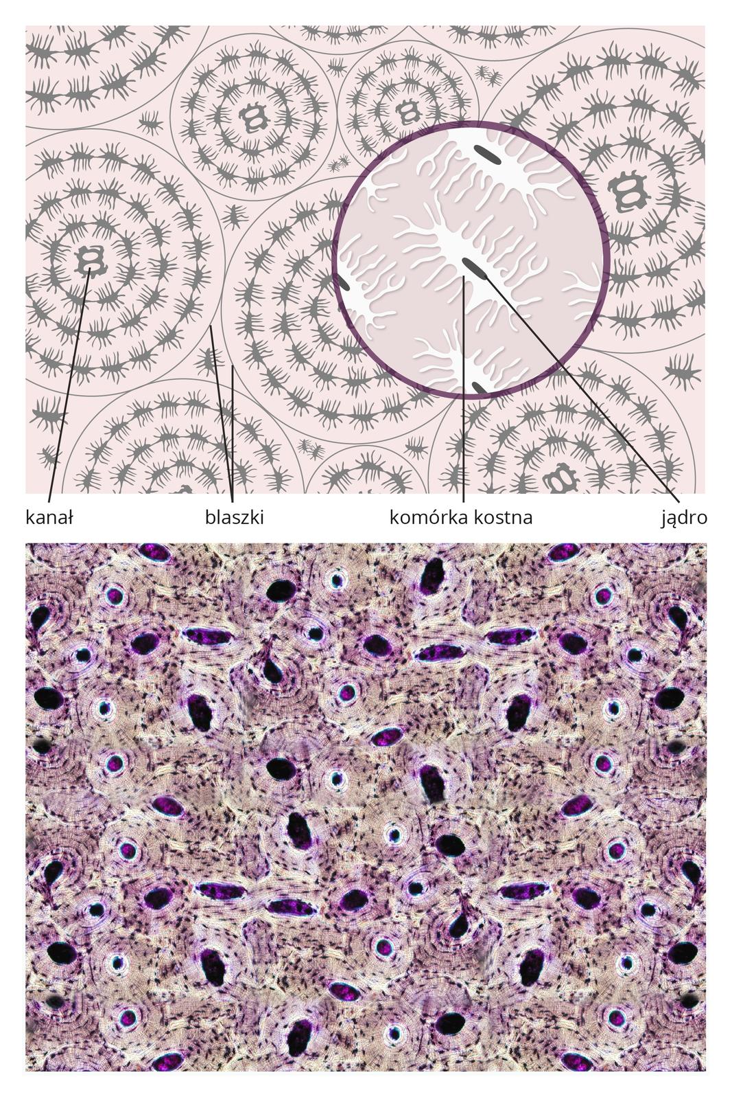 Ilustracja przedstawia tkankę kostną na dwóch ilustracjach jednej pod drugą. Ugóry schematyczny rysunek. Na jasnoróżowym tle zaznaczono koncentryczne szare okręgi, wktórych narysowano komórki. Mają kształt owali zlicznymi wypustkami. Wskazano kanał iokręgi bez komórek, czyli blaszki. Powiększenie przedstawia białą owalną komórkę kostną zlicznymi wypustkami. Wcentrum ciemnoszare, podłużne jądro. Poniżej znajduje się obraz mikroskopowy tkanki kostnej. Na fioletowym tle ciemne owale to kanały, wokół nich koncentrycznie ciemne plamki – komórki kostne.
