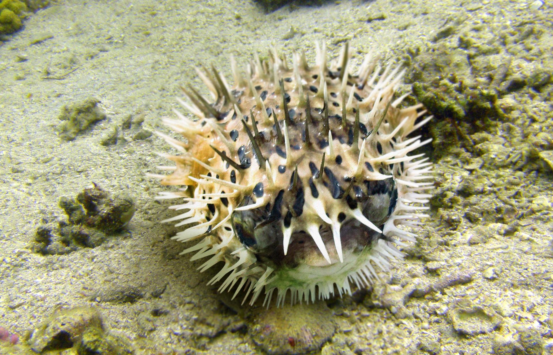 Fotografia przedstawia kulistą najeżkę na dnie oceanu. Ciało białe zkilkoma ciemnobrązowymi plamami, mocno kolczaste. Głowa zprawej, gdyż tam znajduje się duże oko. Delikatna beżowa płetwa na środku kuli.