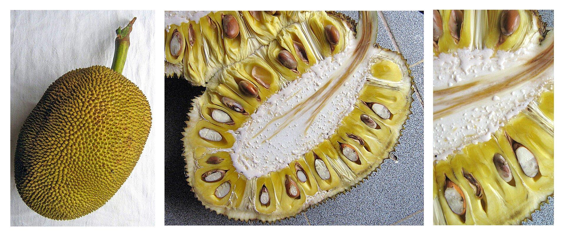 Galeria zawiera fotografie owoców drzewa bochenkowego.Fotografia przedstawia po lewej pojedynczy, żółty, kolczasty owoc zwany jackfruit. Kolejne zdjęcie przedstawia przekrojony owoc: wokół białego środka zbrązowymi włóknami ułożone są brązowe nasiona wżółtej owocni. Dalej wprawo jest zbliżenie fragmentu przekroju. Nasiona zowocnią są jadalne.Fotografia zprawej przedstawia trzy żółte owoce, wyrastające zszarego pnia drzewa chlebowego. Nad nimi mały owoc izielone liście.