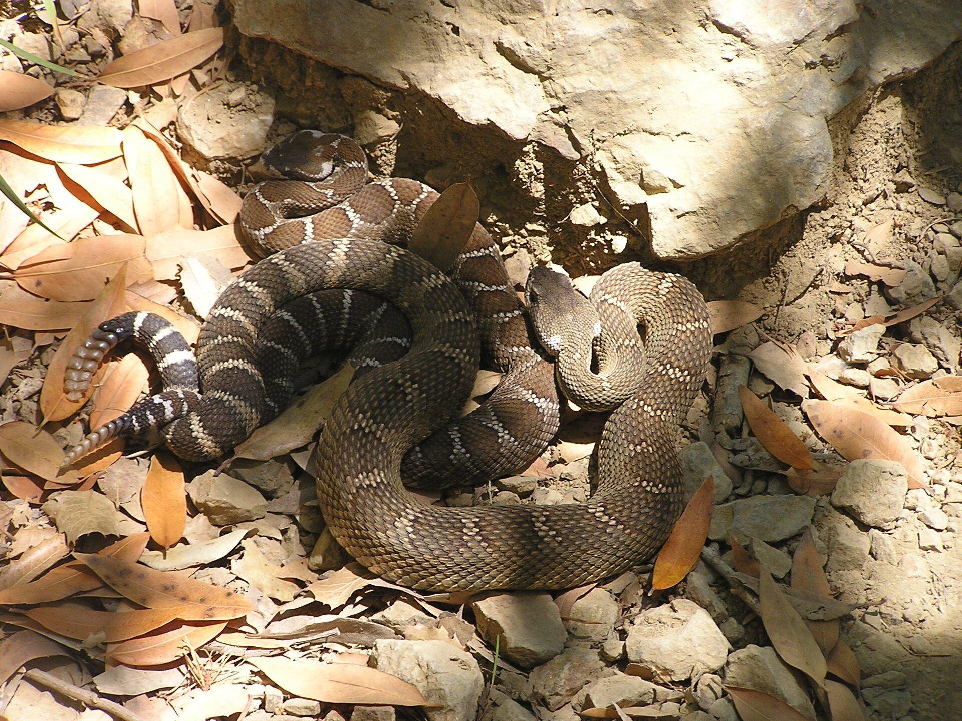 Fotografia grzechotnika. Wąż leży na piasku. Końcówka ogona jest uniesiona, składa się zkilku pierścieni. Na ciele widoczny wzór zczarnych iszarych rombów obwiedzionych na biało.