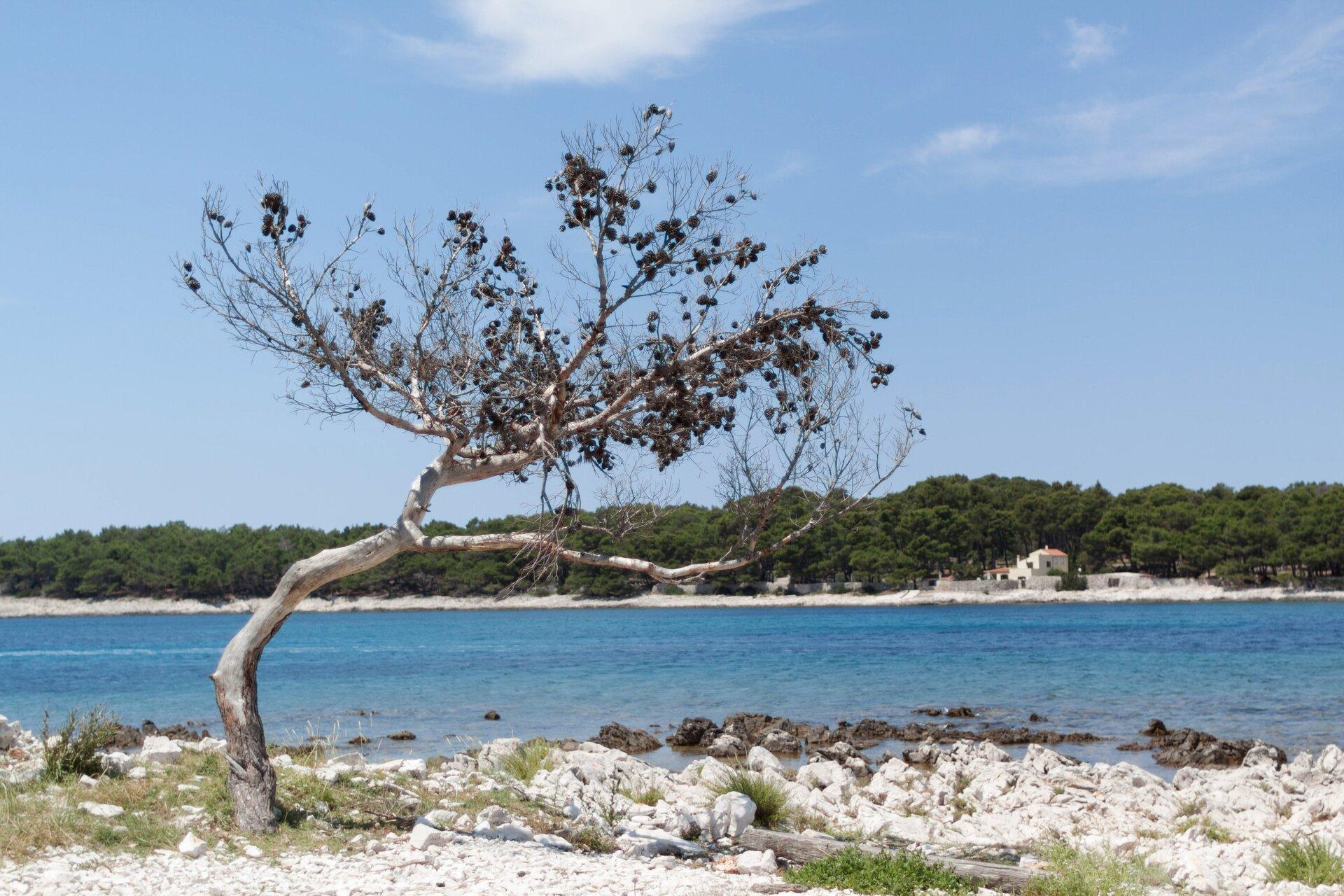 Silnie pochylone drzewa