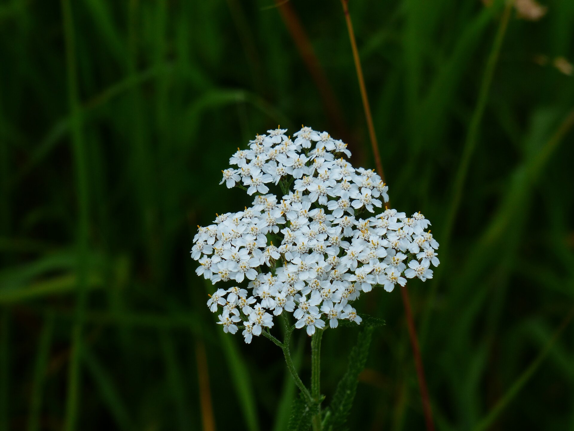 Galeria zdjęć prezentująca popularne zioła lecznicze. Pierwsze zdjęcie ukazuje biały kwiatostan krwawnika.