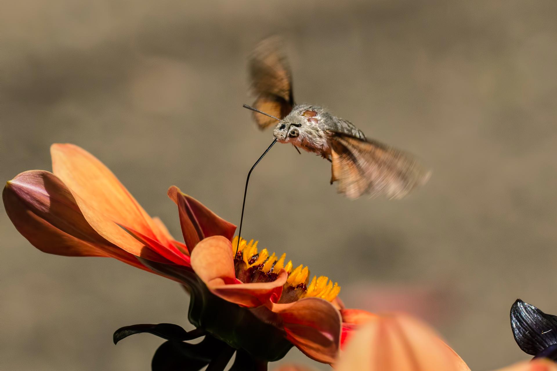 Fotografia przedstawia motyla zrozwiniętą trąbką, unoszącego sie nad kwiatem. Motyl wysysa nektar zpomarańczowego kwiatu.
