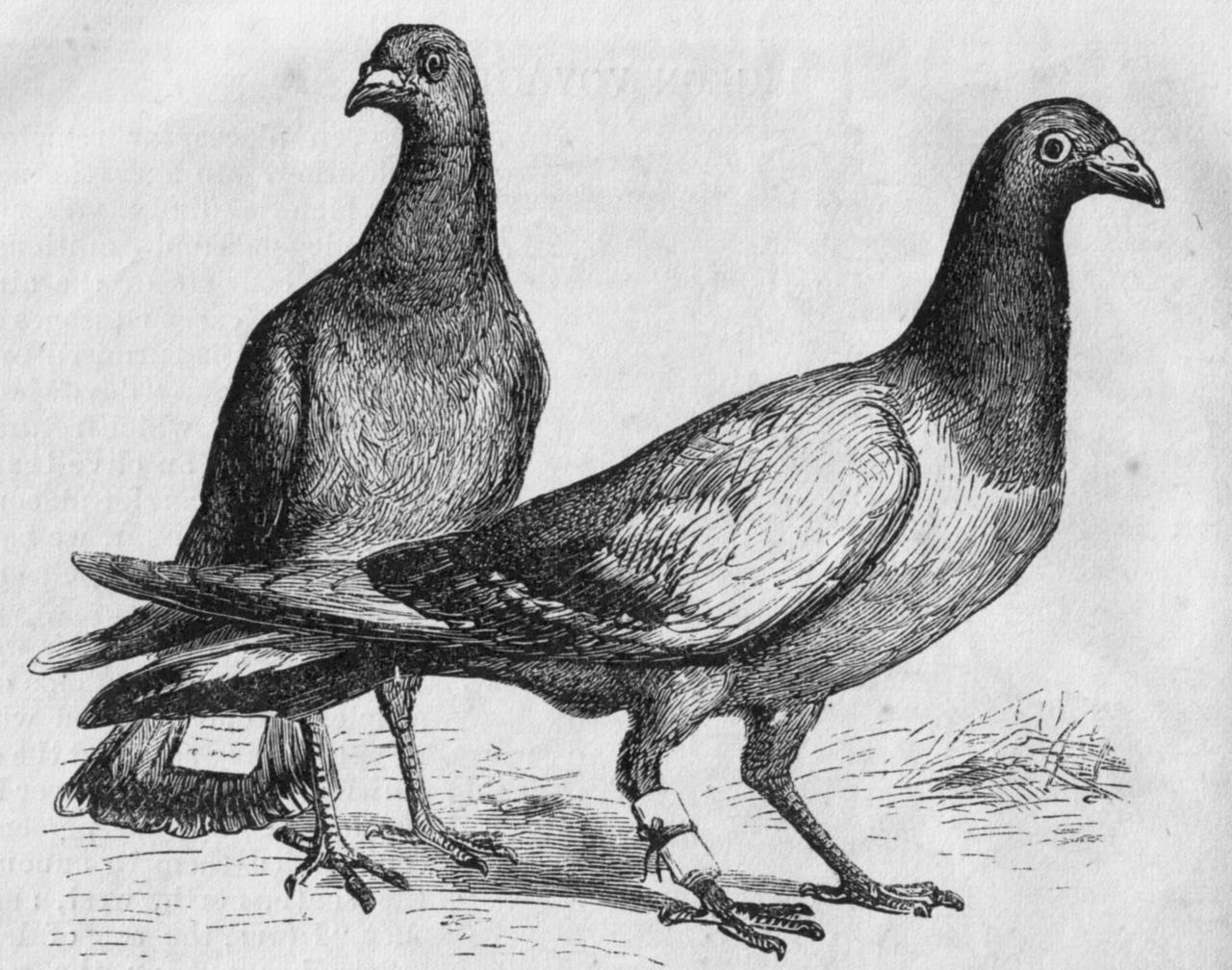 Ilustracja przedstawiająca gołębie