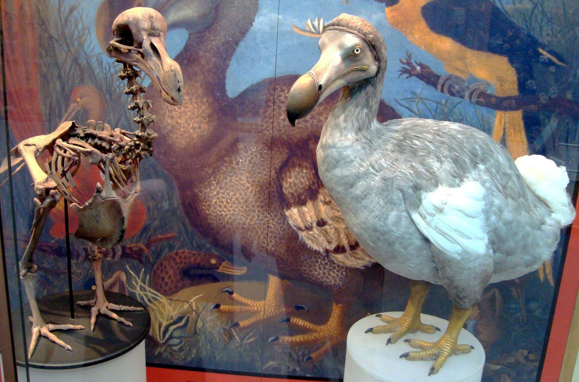 Fotografia przedstawia fragment gabloty wmuzeum przyrodniczym. Stoją wniej na białych podstawkach dwa eksponaty, przedstawiające dronta dodo. Zlewej brązowy szkielet , aobok wypchany ptak. Wtle powiększone ilustracje, przedstawiające dodo iinne zwierzęta wich środowisku.