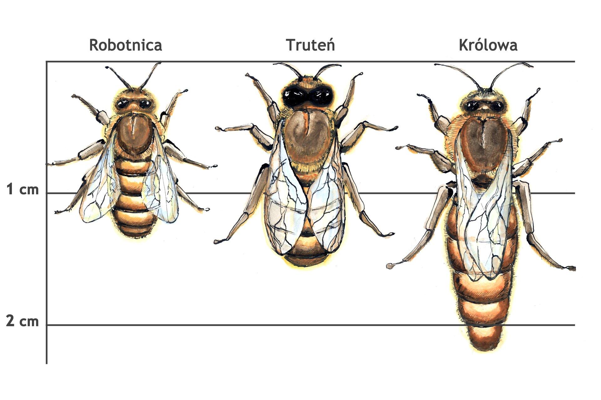 Rysunek trzech pszczół. Robotnica ma długość jeden ijedna trzecia centymetra, truteń ma długość jeden ijedna druga centymetra, królowa ma długość ponad 2 cm.