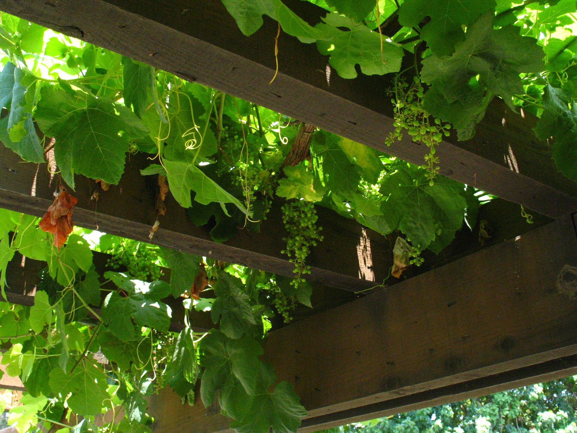 Fotografia przedstawia pergolę, na której rośnie winorośl. Wdół zwisają grona zielonych owoców icienkie, zakręcone wąsy pędowe.
