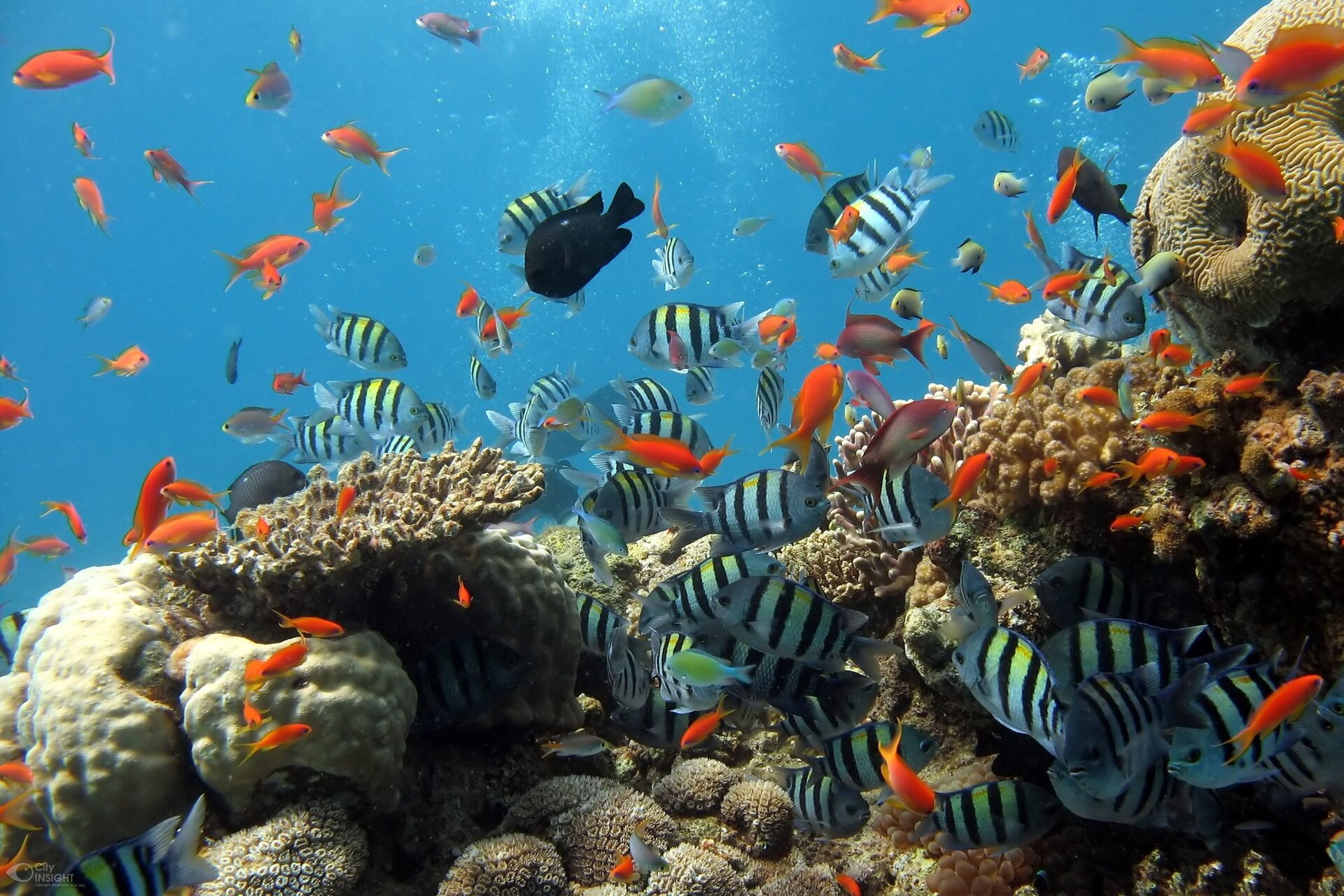 Fotografia rafy koralowej. Wdolnej części widać rafę. Występują tu koralowce układające się wtwory wformie kuli, płaskie, wkształcie talerza lub grzyba. Nad rafą pływają niewielkie ryby. Część znich jest pomarańczowa, aczęść wpionowe czarno-białe pasy.