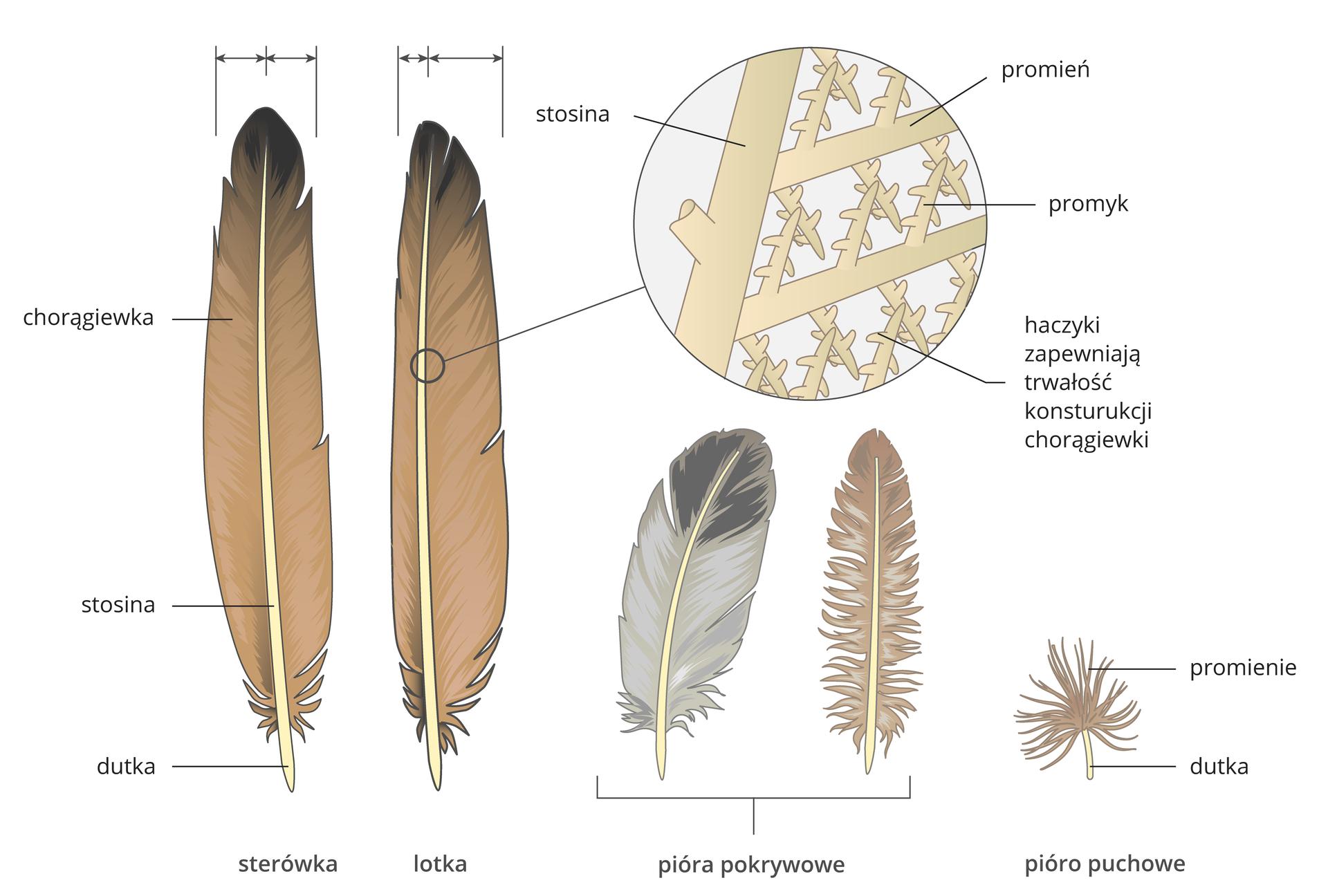 Ilustracja przedstawia wpionie pięć typów piór ptaka, różniących się budową. Od lewej sterówka. Składa się zdutki udołu, stosiny wzdłuż ibeżowo – brązowej chorągiewki. Chorągiewka ma taką sama szerokość po obu stronach stosiny. Następne pióro to lotka. Części pióra te same, ale chorągiewka jest węższa po jednej, aszersza po drugiej stronie stosiny. Obok powiększenie fragmentu stosiny ichorągiewki. Od walcowatej stosiny odchodzą grube promienie, od nich cienkie promyki zhaczykami. Taka konstrukcja zapewnia trwałość chorągiewki. Kolejne dwa pióra: szaro – czarne ibeżowe to pióra pokrywowe. Ostatnie wrzędzie jest pióro puchowe, które na dutce ma nitkowate promienie.
