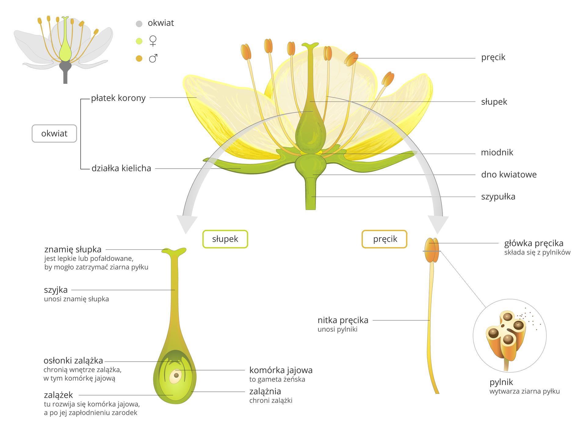 Ilustracja przedstawia szczegółową budowę kwiatu. Ilustracja składa się ztrzech elementów. Na górze kwiat, poniżej na lewo słupek, na prawo pręcik.Kwiat. Ilustracja to kwiat wprzekroju podłużnym. Trzy żółte płatki owalne, otaczają słupek. Wokół słupka sześć pręcików. Pręciki wyrastają zdna kwiatowego nad którym jest miodnik. Pod płatkami znajdują się wydłużone wąskie działki kielicha. Poniżej zielona łodyga. To szypułka. Ilustracja słupka. Dolna część słupka ma kształt owalny. To zalążnia. Wzalążni znajduje się zalążek. Wcentrum zielonej zalążni znajduje się mała owalna komórka jajowa. Zalążek otacza osłonka zalążka. Nad zalążnią znajduje się wydłużona część słupka. To szyjka. Na szczycie szyjki znajduje się znamię słupka. Na prawo ilustracja pręcika. Pręcik składa się zdługiej nitki pręcika. Długość około trzy centymetry. Na szczycie nitki znajduje się główka pręcika. Główka składa się zdwóch symetrycznie przylegających owalnych płaskich pylników. Poniżej główka pręcika wpowiększeniu. Główka pręcika wprzekroju poprzecznym. Wewnątrz znajdują się cztery komory pylnikowe. Wpylnikach znajdują się drobne ziarna pyłku.
