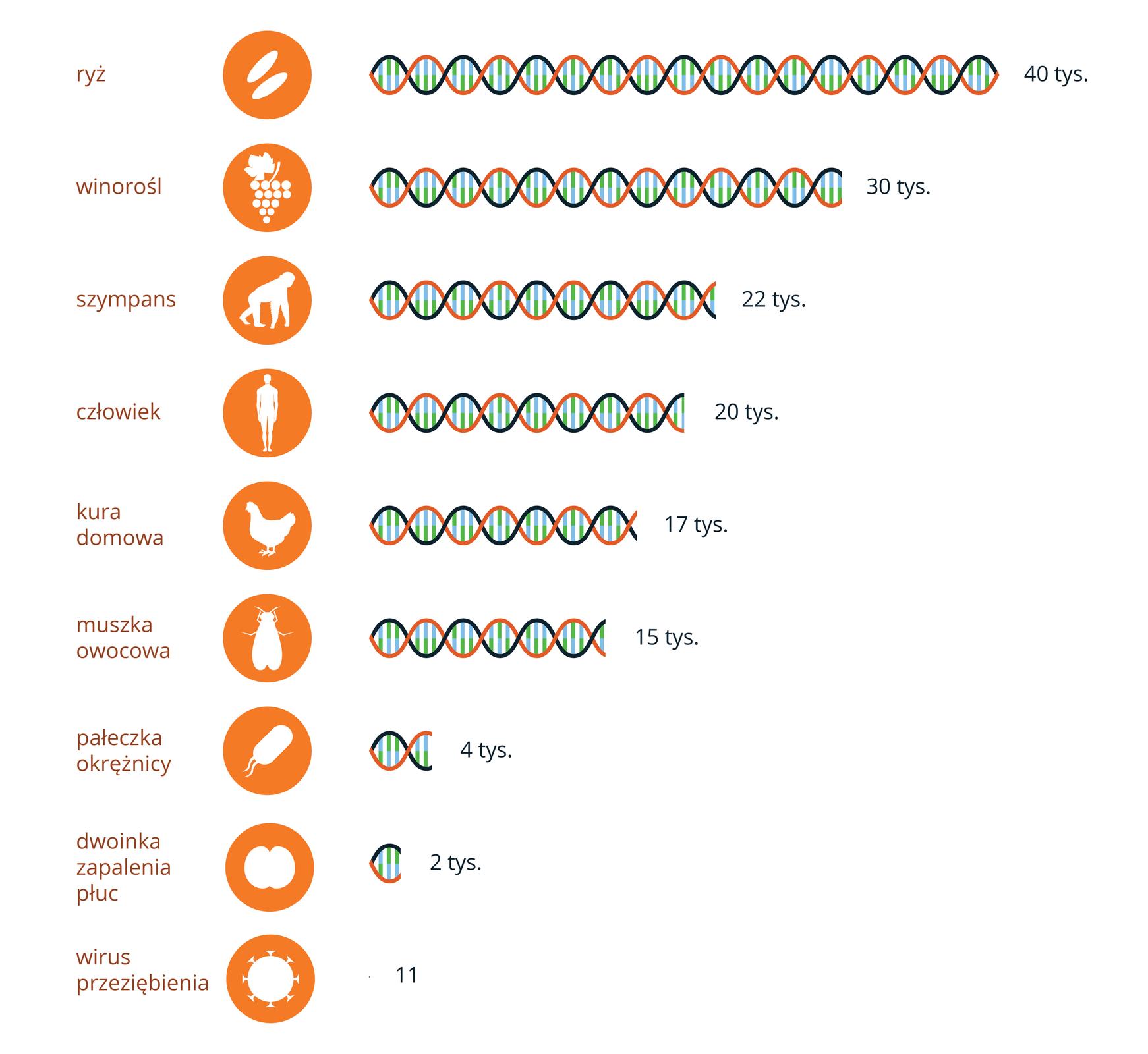 Ilustracja przedstawia schematycznie liczbę genów wDNA różnychorganizmów. DNA ma postać zielono – pomarańczowej skręconej nici. Przy niej liczba, oznaczająca ilość genów. Zprawej pomarańczowe kółka zbiałą sylwetką organizmu. Od góry ryż, 40000 genów. Dalej winorośl, 30000. Niżej szympans, 22000 iczłowiek 20000 genów. Kura ma 17000, amuszka owocowa 15000 genów. Pałeczka okrężnicy ma 4000, wirus grypy 2000 genów. Najmniej ma dwoinka zapalenia płuc, tylko 11 genów.