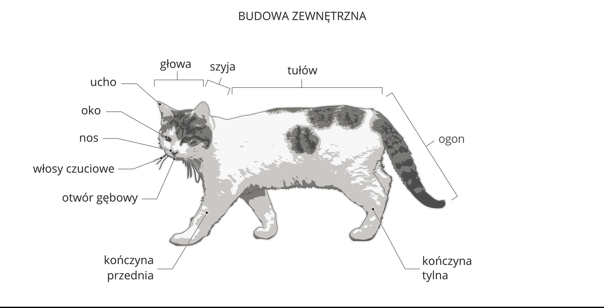 Galeria zawiera trzy ilustracje, przedstawiające budowę zewnętrzną iwewnętrzną kota. Ilustracja przedstawia sylwetkę białego kota wszare plamy. Głowa wlewo, zpodpisanymi narządami od góry: ucho, oko, nos, włosy czuciowe, otwór gębowy. Za głową ugóry podpisana odcinki: szyja, tułów iogon. Na dole podpisy: kończyna tylna, kończyna przednia.