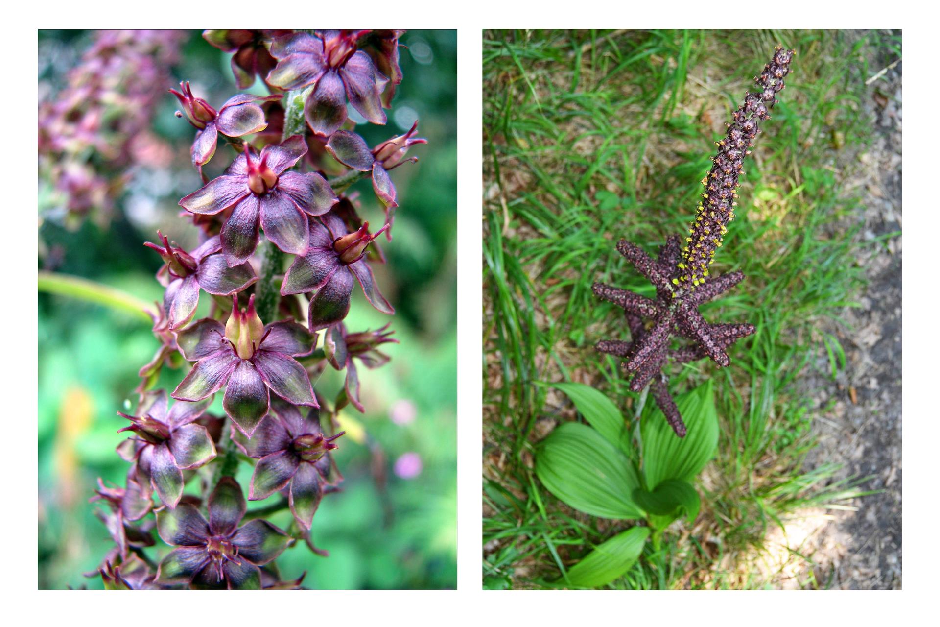 Fotografia przedstawia kwiatostan ipokrój ciemiężycy czarnej. Zlewej zbliżenie ciemnofioletowych kwiatów ztrzema jasnymi słupkami wśrodku. Zprawej widok na roślinę: przy ziemi wyrastają szerokie, jasnozielone liście. Pomiędzy nimi wyrasta gruba owłosiona łodyga opoziomych odgałęzieniach, obsypana ciemnymi kwiatkami. Część znich rozwinięta, zżółtym wnętrzem.