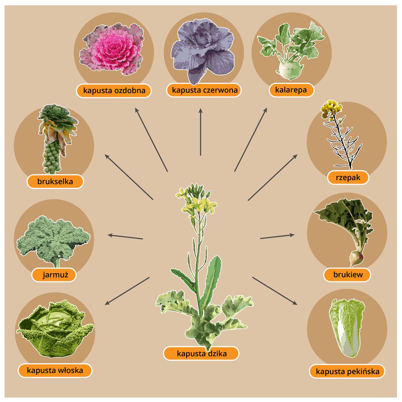 Gragika przedstawia dziką formę kapusty ipochodzące od niej rośliny uprawne, takie jak brukselka, rzepak, kalafior, kapusta pekińska.