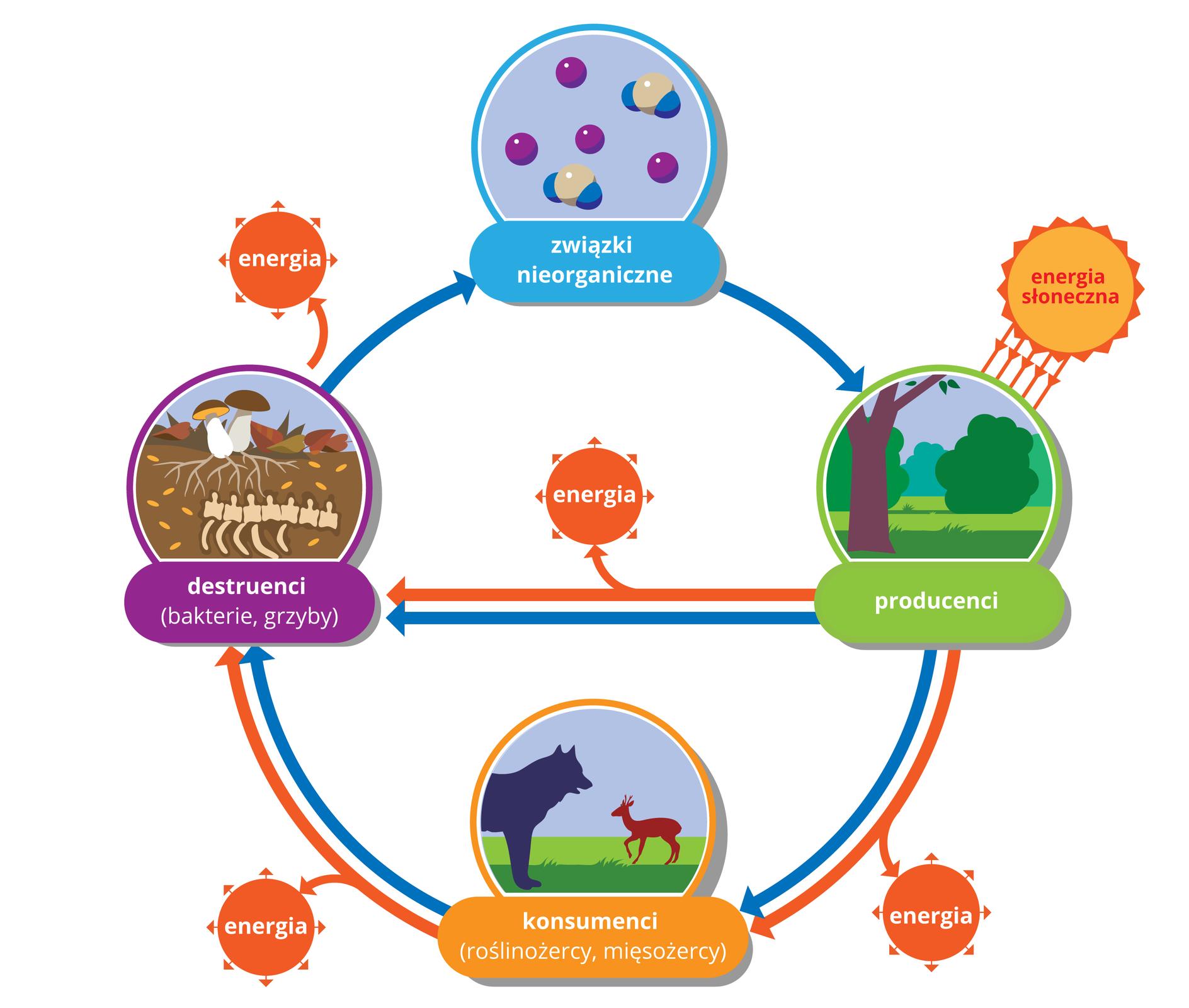 Schemat przedstawia obieg materii iprzepływ energii przez ekosystem. strzałki czerwone - energia, strzałki miebieskie - materia.