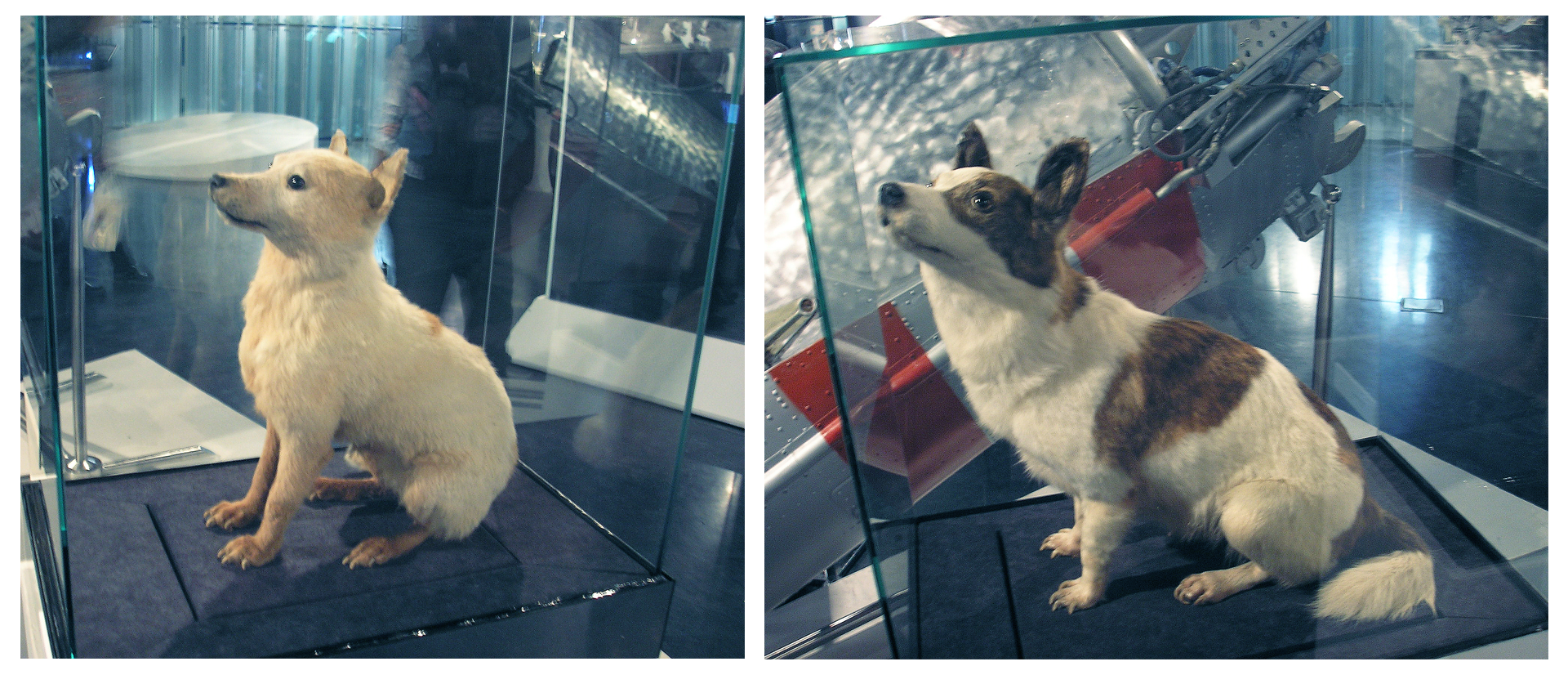 Fotografie przdstawiają niewielkie wypchane psy umieszczone wszklanych gablotach. Psy są niwelekjie. Biełka jest biała, aStriełka biała wczarnr łaty.