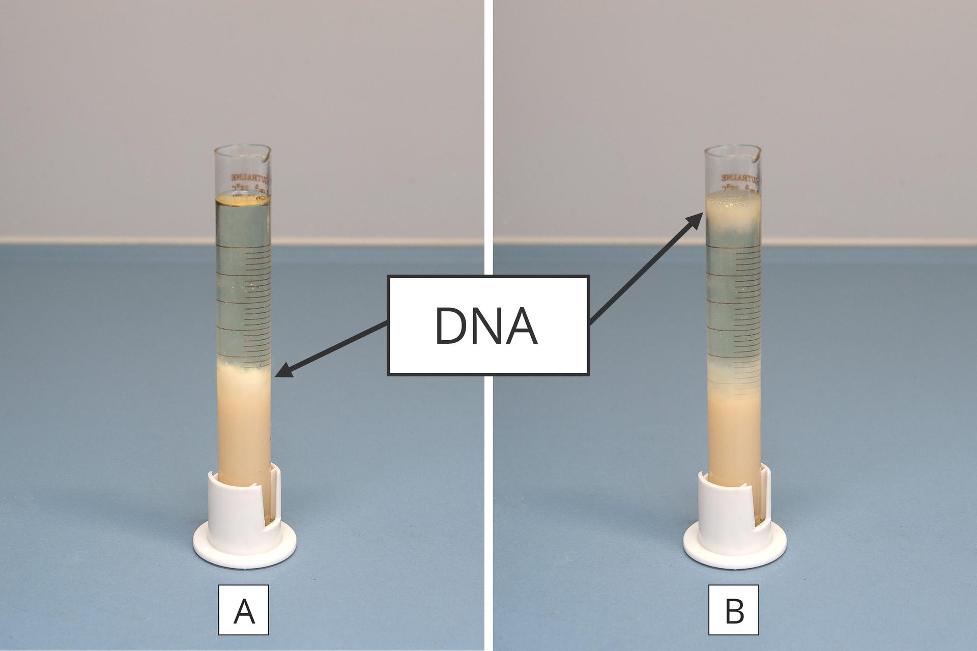 Dwie fotografie ilustrują wynik obserwacji, polegającej nawytrąceniu DNA owocu kiwi. Obie fotografie na niebieskim tle są połączone dużym kwadratem znapisem DNA. Na każdej fotografii znajduje się wzbliżeniu probówka zprzezroczystym płynem. Wnim wprobówce zlewej na dole zebrał się różowy, kłaczkowaty osad, wskazany jako DNA. Wprobówce zprawej różowy osad DNA znajduje się na dole próbówki oraz przy powierzchni płynu.