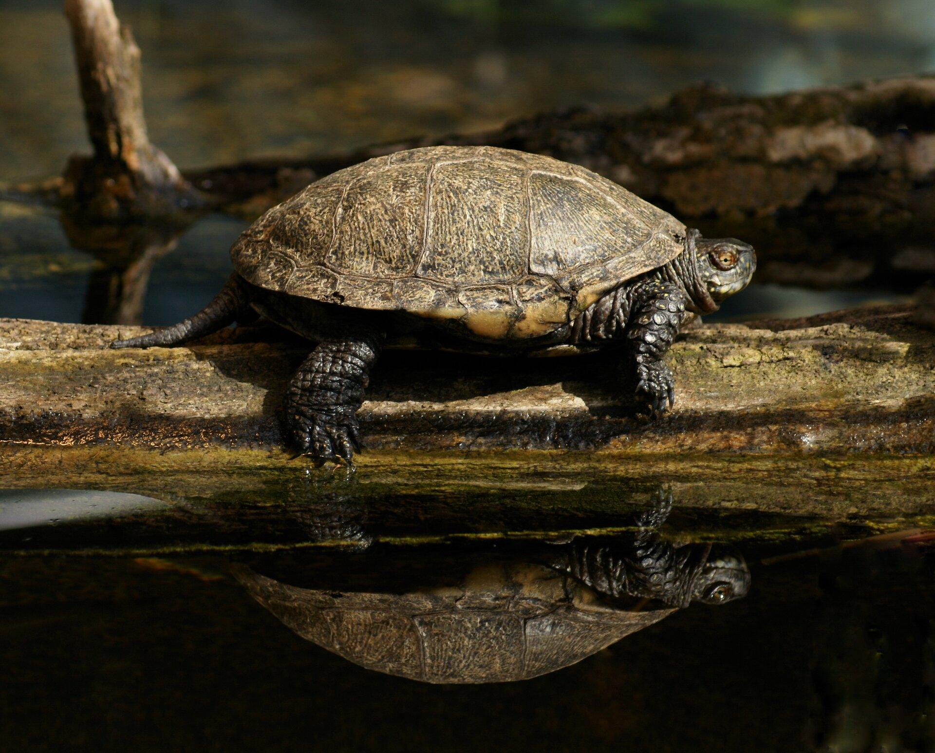 Fotografia przedstawia żółwia błotnego na kawałku drewna wwodzie, wktórej zwierzę się odbija. Żółw ma jasnobrązowy pancerz, podzielony na duże pola. Mała czarna głowa wprawo, na niej bursztynowe oko. Szyja zwinięta wfałdy. Kończyny iogon czarne.