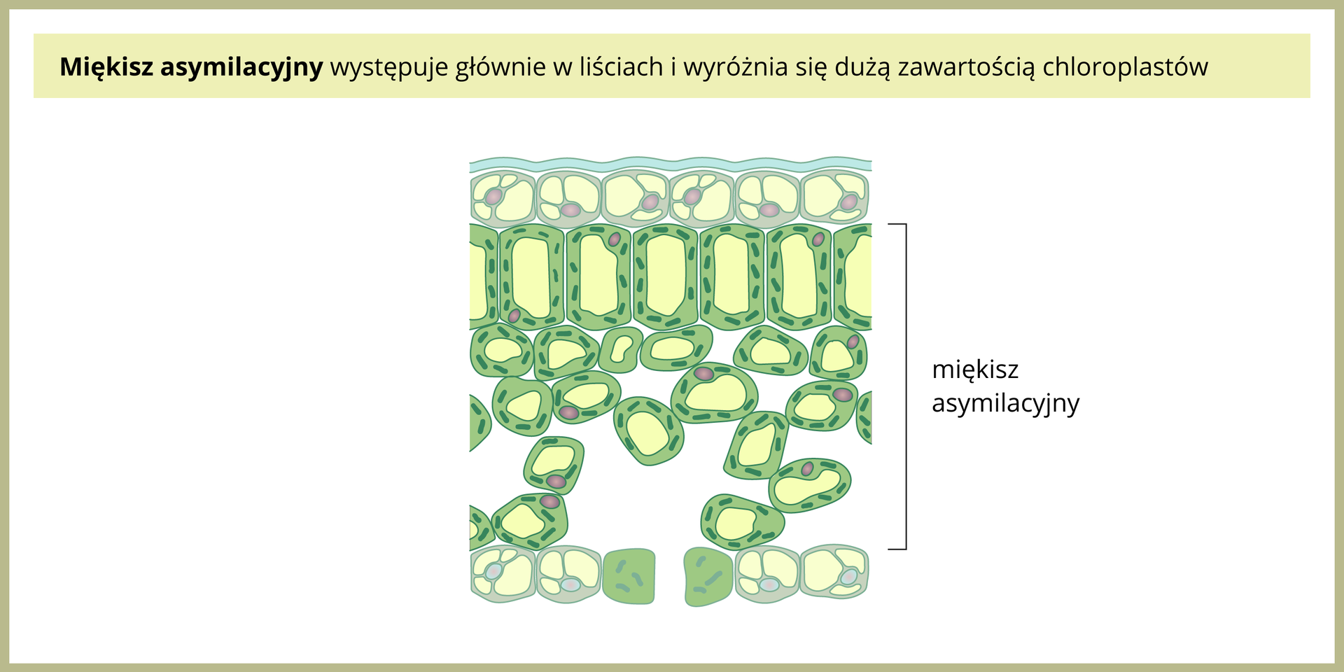 Ilustracja po lewej przedstawia zielony miękisz asymilacyjny na przekroju przez liść. Ugóry iudołu liścia znajdują się komórki skórki ogrubych ścianach. Miedzy nimi znajdują się podłużne, ściśle ułożone obok siebie komórki miękiszu, apod nimi mniejsze, luźniej ułożone. Wtych komórkach jest wiele chloroplastów.