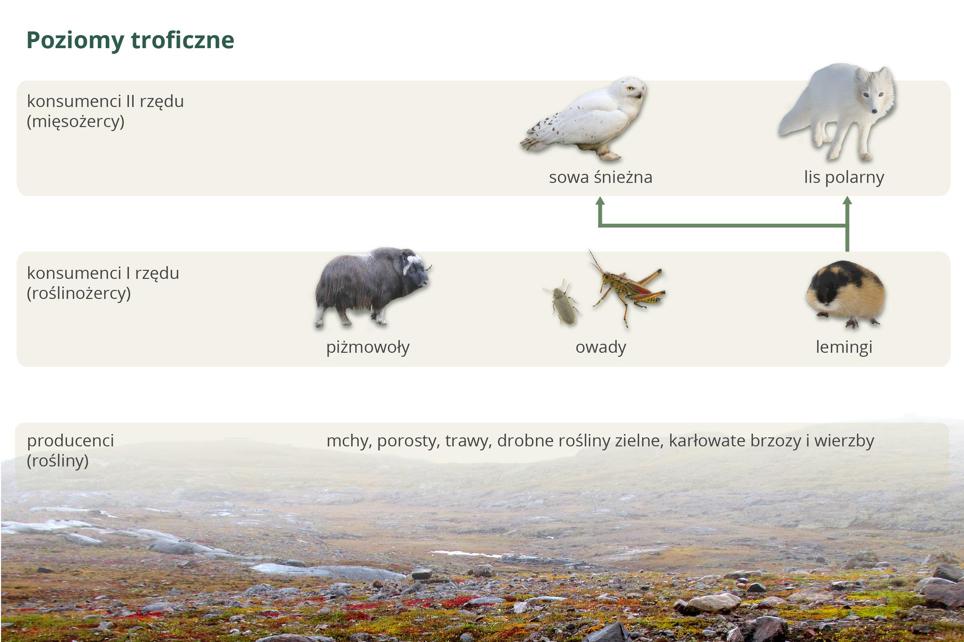Ilustracja przedstawia poziomy troficzne tundry wpostaci trzech pasów. Udołu krajobraz tundry znapisami, oznaczającymi producentów. Wyżej na kolejnych poziomach podpisane wizerunki konsumentów. Od leminga po prawej zielone strzałki do sowy śnieżnej ilisa polarnego.