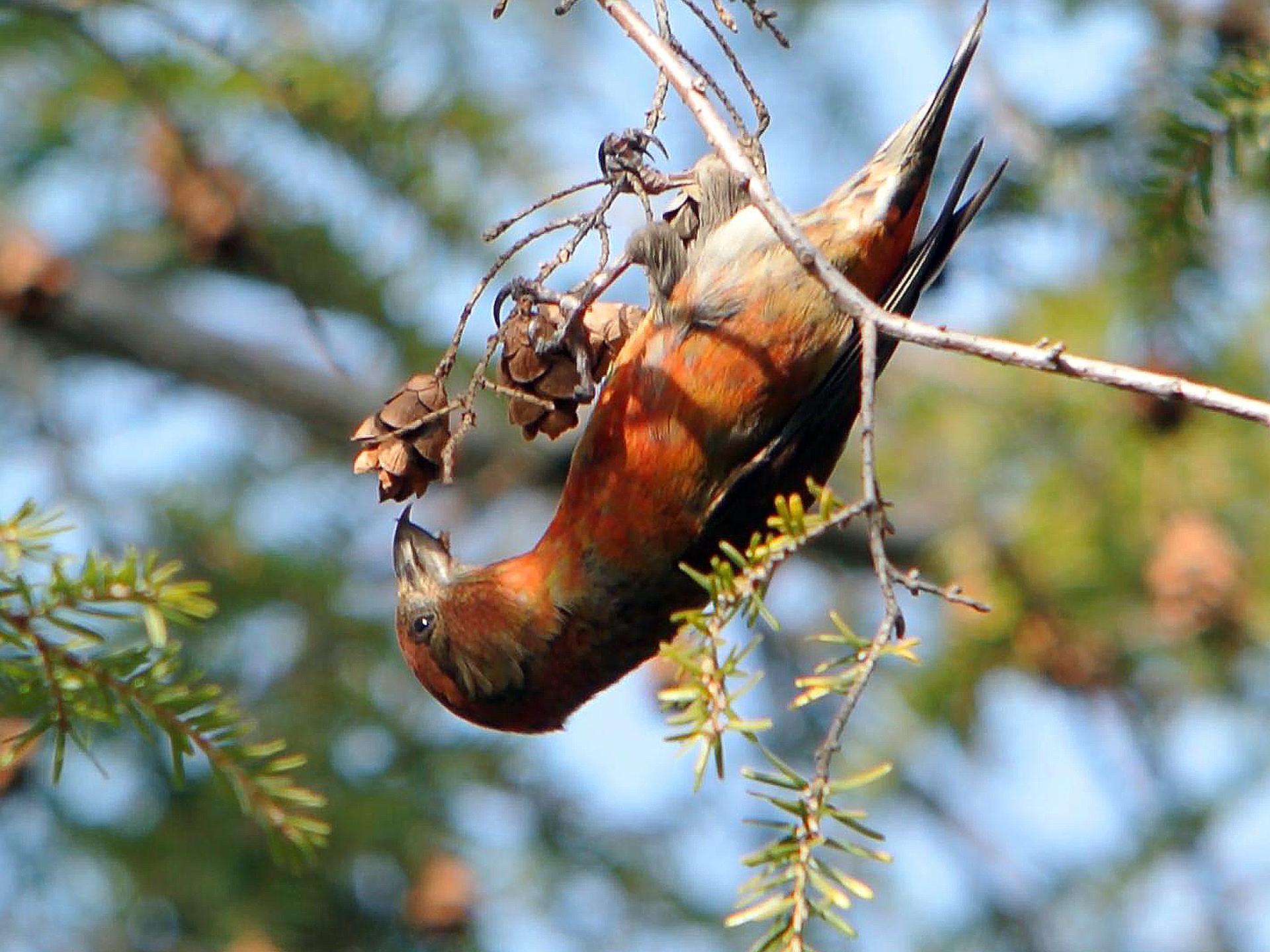 Fotografia przedstawia brązowego ptaka zgrubym dziobem, siedzącego na gałęzi sosny. Krzyżodziób trzyma wdziobie szyszkę, zktórej może wyjadać pożywne nasiona.