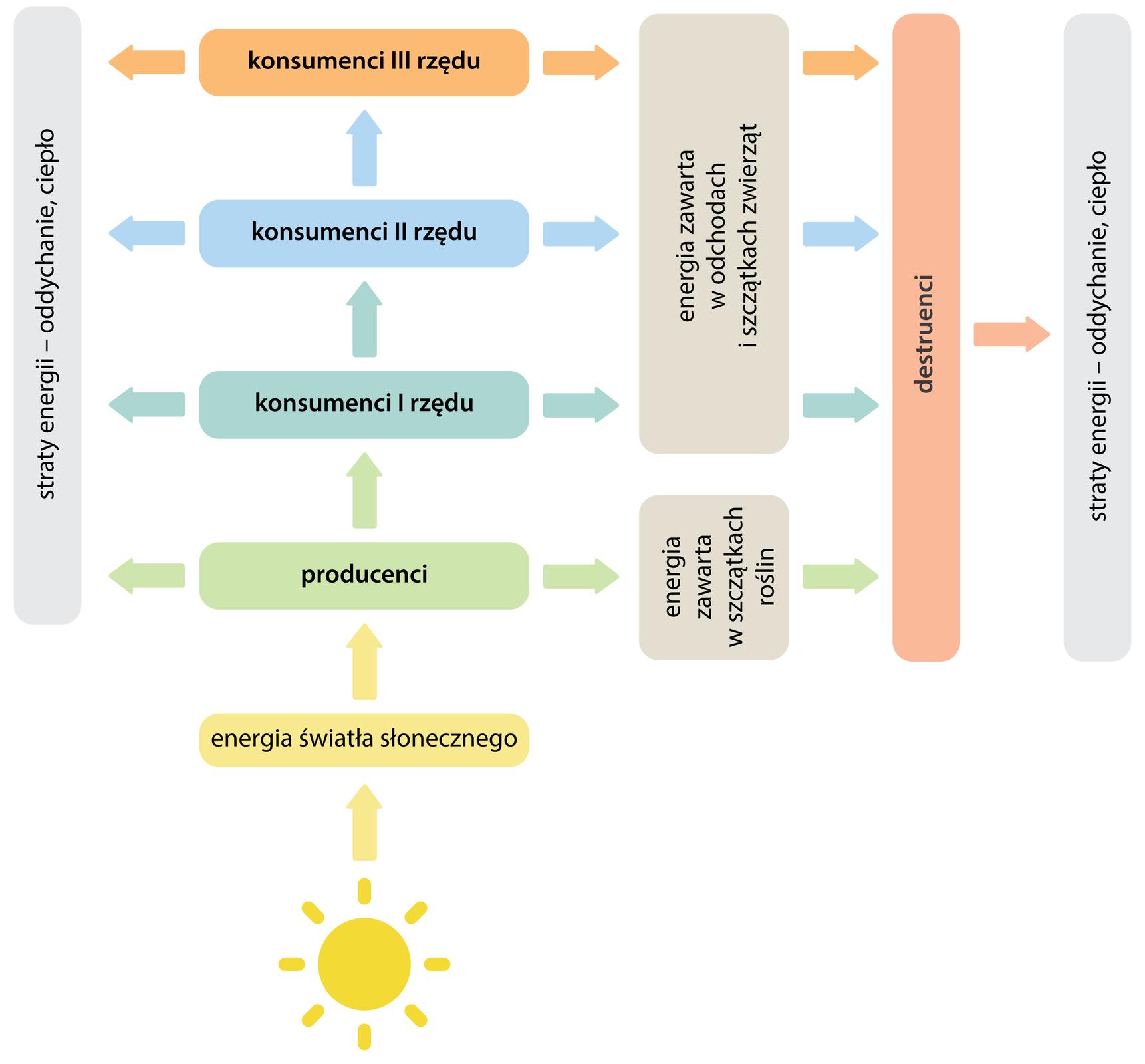 Schemat przedstawia przepływ energii od dołu ilustracji, od słońca, poprez kolejne ogniwa łańcucha pokarmowego. Szczatki zawiarające energię trafiają do destruentów. na każdym poziomie straty energii.