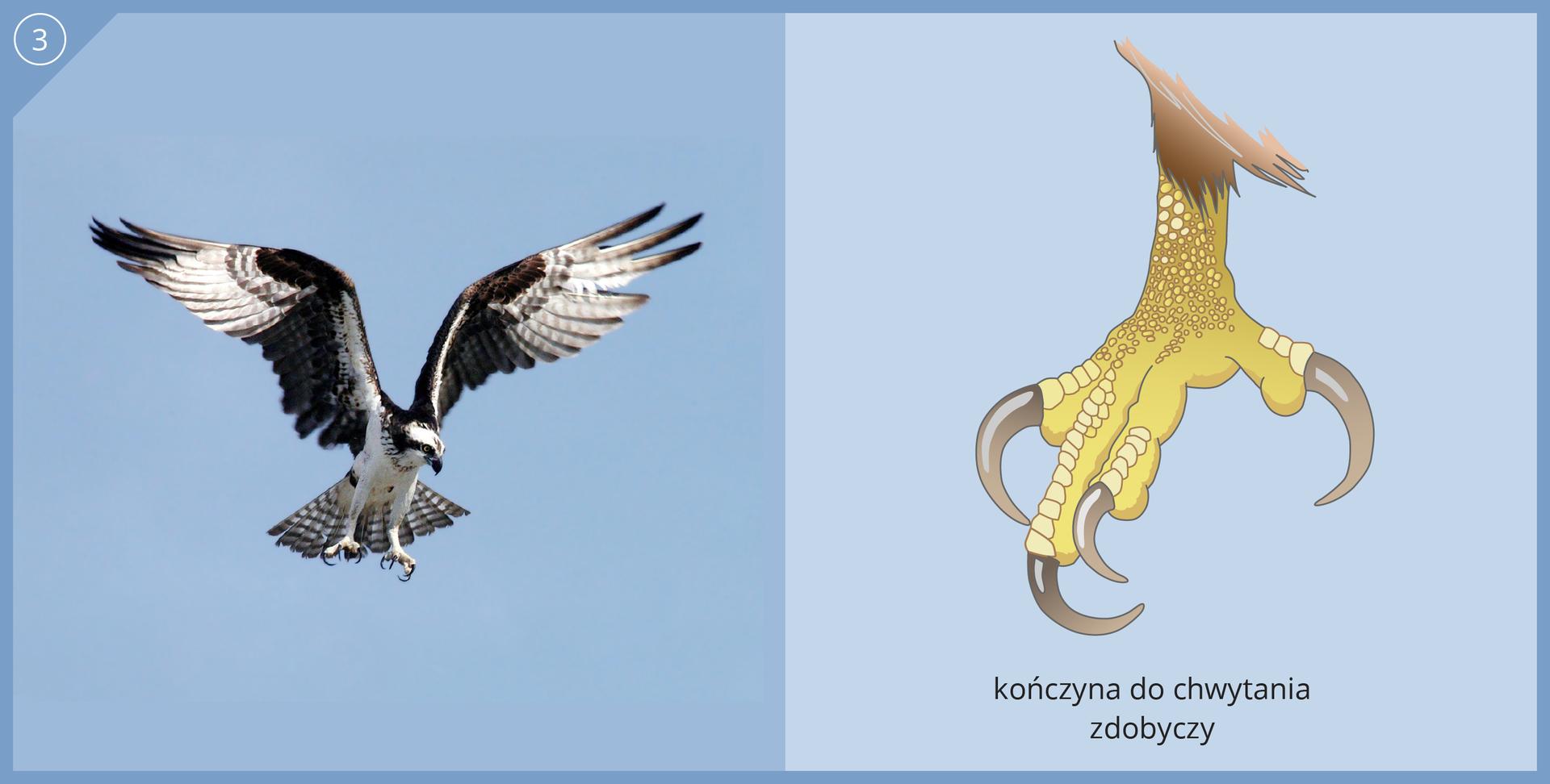 Fotografia przedstawia drapieżnego rybołowa wlocie, szykującego się do złapania zdobyczy. Czarno biały ptak ma uniesione izgięte długie skrzydła zrozcapierzonymi lotkami. Głowa wdół, szpony haczykowate, rozstawione. Ilustracja przedstawia kończynę, przystosowaną do chwytania zdobyczy. Żółte palce są krótkie, zgrubiałe, czwarty podobny do trzech pozostałych. Pazury bardzo długie, mocno zagięte, ostre.