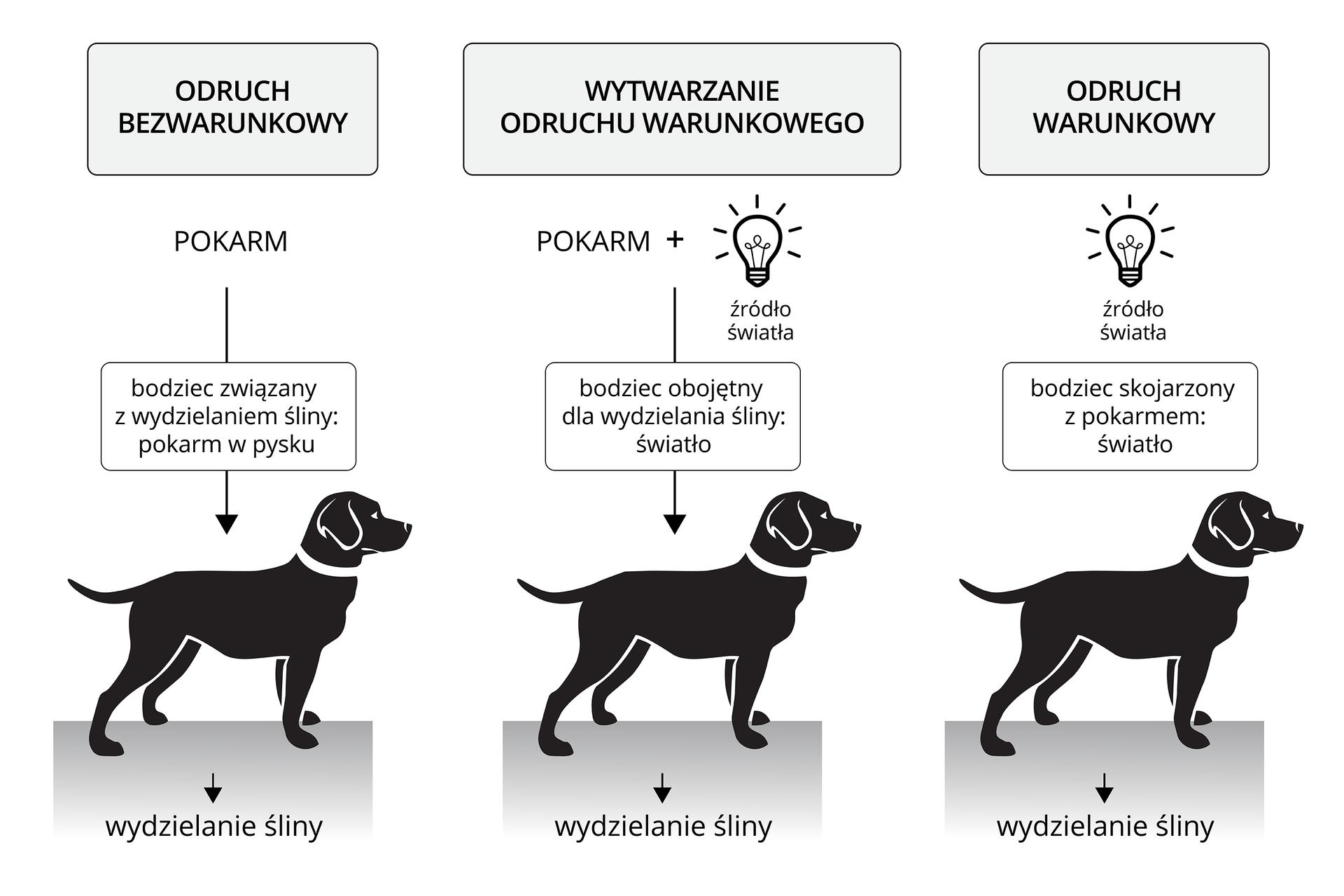 Ilustracja przedstawia 3 czarne sylwetki psów na szarym podłożu. Ugóry każdej sylwetki psa opisano typ odruchu idziałające bodźce. Pierwszy zlewej: odruch bezwarunkowy. Bodziec: pokarm (w pysku). Pod sylwetką psa reakcja: wydzielanie śliny. Środkowy: wytwarzanie odruchu warunkowego. Rysunek zapalonej żarówki. Bodziec: pokarm plus światło. Reakcja: wydzielanie śliny. Zprawej: odruch warunkowy. Rysunek zapalonej żarówki. Bodziec: światło. Ta sama reakcja: wydzielanie śliny.