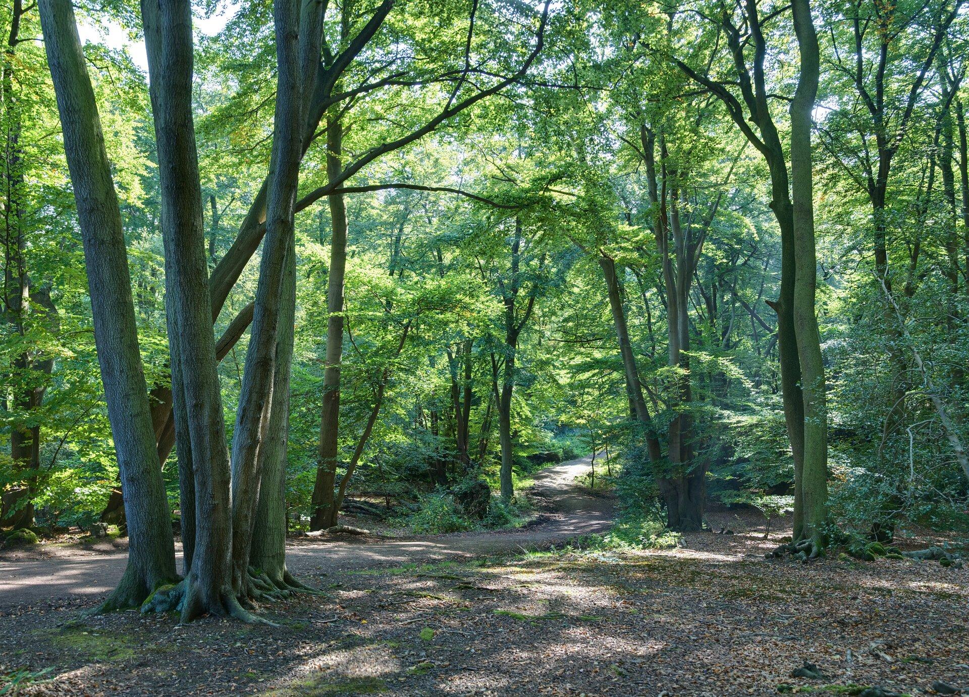 Na zdjęciu las liściasty. Wlesie ścieżka wysypana opadłymi liśćmi.