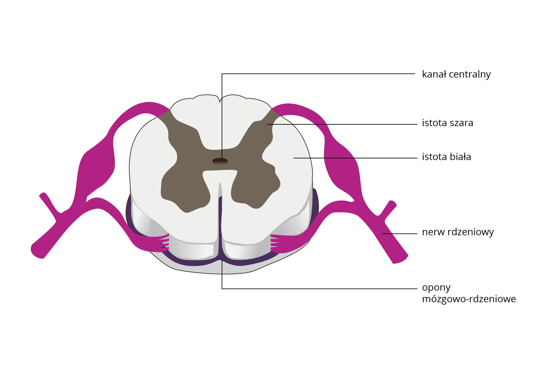 Ilustracja przedstawia schematycznie przekrój poprzeczny białego rdzenia kręgowego. Ma wewnątrz istotę szarą wkształcie motyla. Od niej ugóry wychodzą różowe nerwy rdzeniowe. Wśrodku ciemny kanał centralny. Wokół rdzenia ciemnofioletowe opony rdzeniowe.
