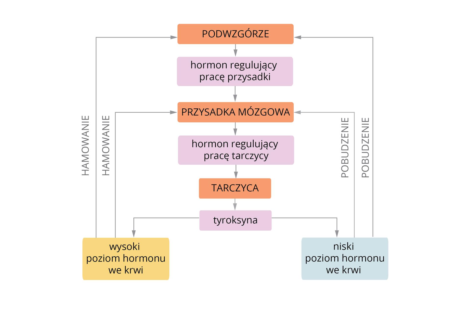 Ilustracja wformie schematu blokowego przedstawia proces samoregulacji na przykładzie wydzielania tyroksyny. Wcentrum ułożone kolejno kolorowe prostokąty. Pomarańczowy to podwzgórze. Strzałka wdół prowadzi do hormonu regulującego pracę przysadki (fioletowy prostokąt). Strzałka wdół prowadzi do przysadki mózgowej (pomarańczowy prostokąt). Stąd schodzi do hormonu regulującego pracę tarczycy (fioletowy prostokąt). Strzałka wdół wskazuje tarczycę (pomarańczowy prostokąt), wydzielającą tyroksynę (fioletowy prostokąt). Na dole po lewej żółty prostokąt. Oznacza on wysoki poziom hormonu we krwi. Dwie szare strzałki (hamowanie), prowadzą do podwzgórza iprzysadki mózgowej. Jasnoniebieski prostokąt po lewej stronie to niski poziom hormonu we krwi. Prowadzą od niego wgórę dwie szare strzałki (pobudzenie): dłuższa do podwzgórza, krótsza do przysadki mózgowej.