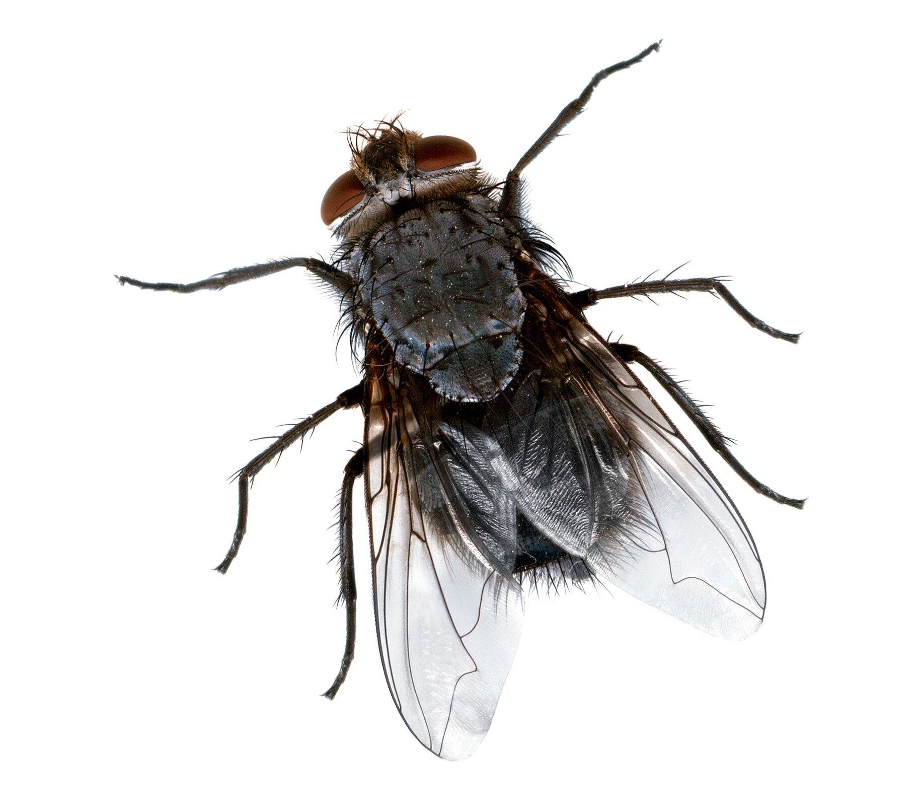 Fotografia muchy. Zwierzę ma krępe ciało. Po lewej stronie na górze znajduje się głowa wyposażona wdwoje dużych brązowych oczu. Mucha posiada trzy pary odnóży ijedną parę skrzydeł złożonych wzdłuż ciała.