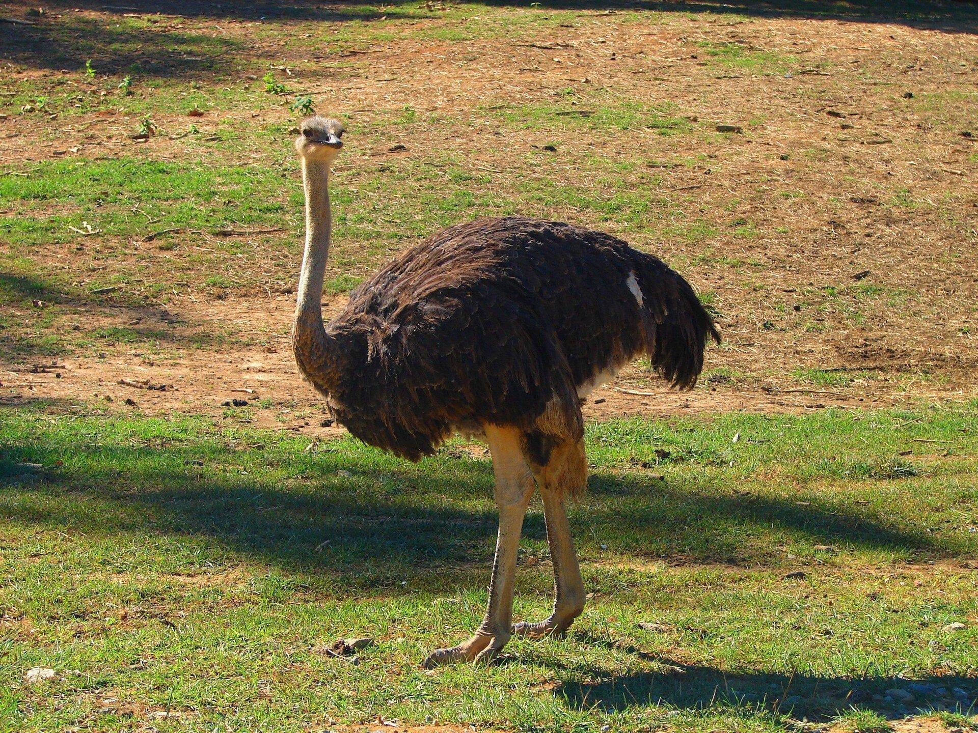 Fotografia przedstawia stojącego dużego strusia afrykańskiego. Brązowe długie pióra na tułowiu, głowa zlewej mała, na długiej nagiej szyi. Duże oczy iszeroki dziób. Nogi grube, mocne, opierzone ugóry. Palce grube, środkowy dłuższy od pozostałych.