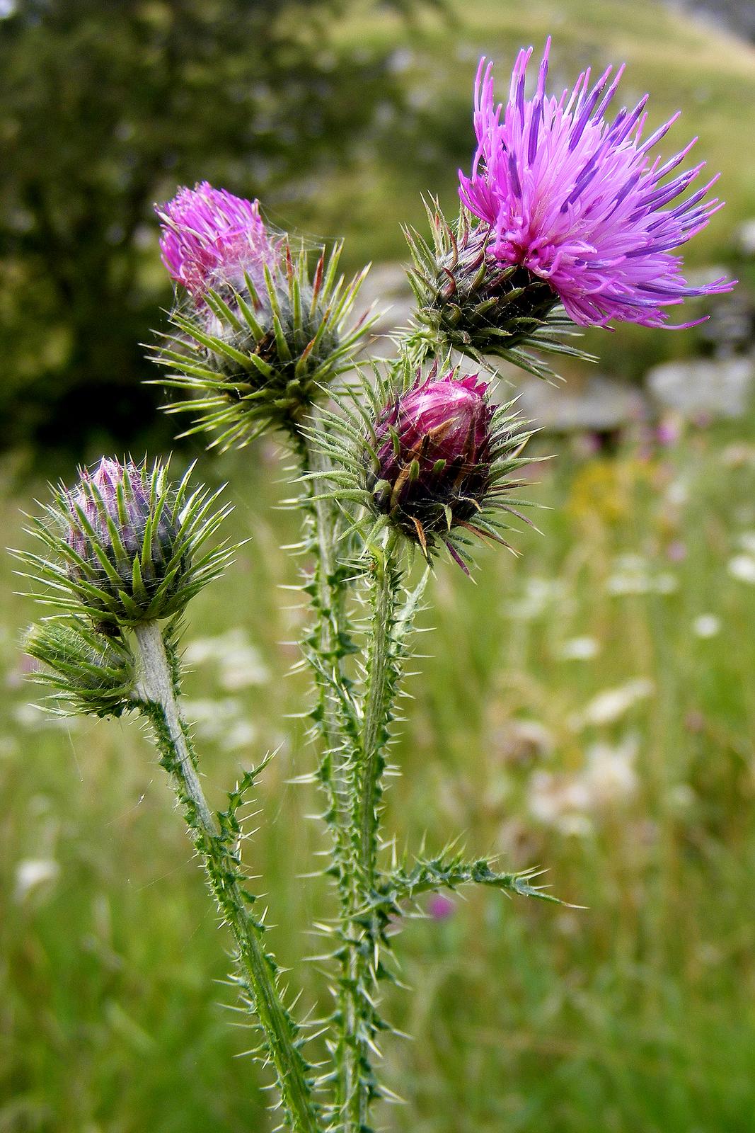 Fotografia przedstawia wzbliżeniu wzniesiony pęd ostu. Na łodydze, liściach ikoszyczku kwiatowym znajdują się liczne kolce. Kwiat złożony, fioletowy.