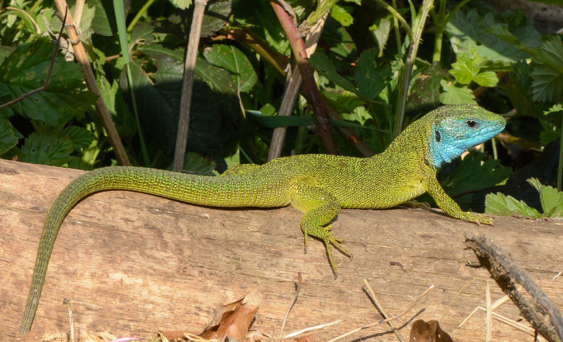 Fotografia przedstawia jaszczurkę zieloną na kawałku drewna między kamieniami. Stoi wlewo zopuszczoną głową zniebieskim podgardlem. Reszta ciała zielona. Ma krótkie łapy zdługimi palcami. Na ciele wyraźne łuski, na ogonie ułożone wpierścienie.
