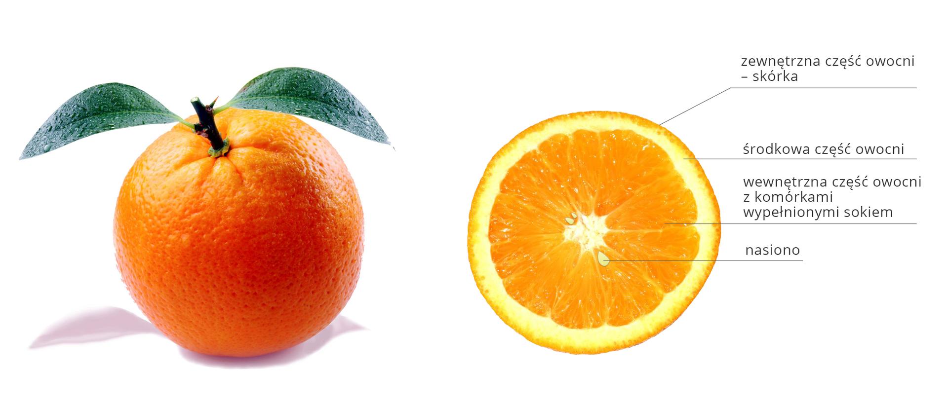 Fotografia przedstawia dwie pomarańcze: całą, zliśćmi iprzepołowioną wpoprzek. Części przekrojonej pomarańczy są odpowiednio podpisane.