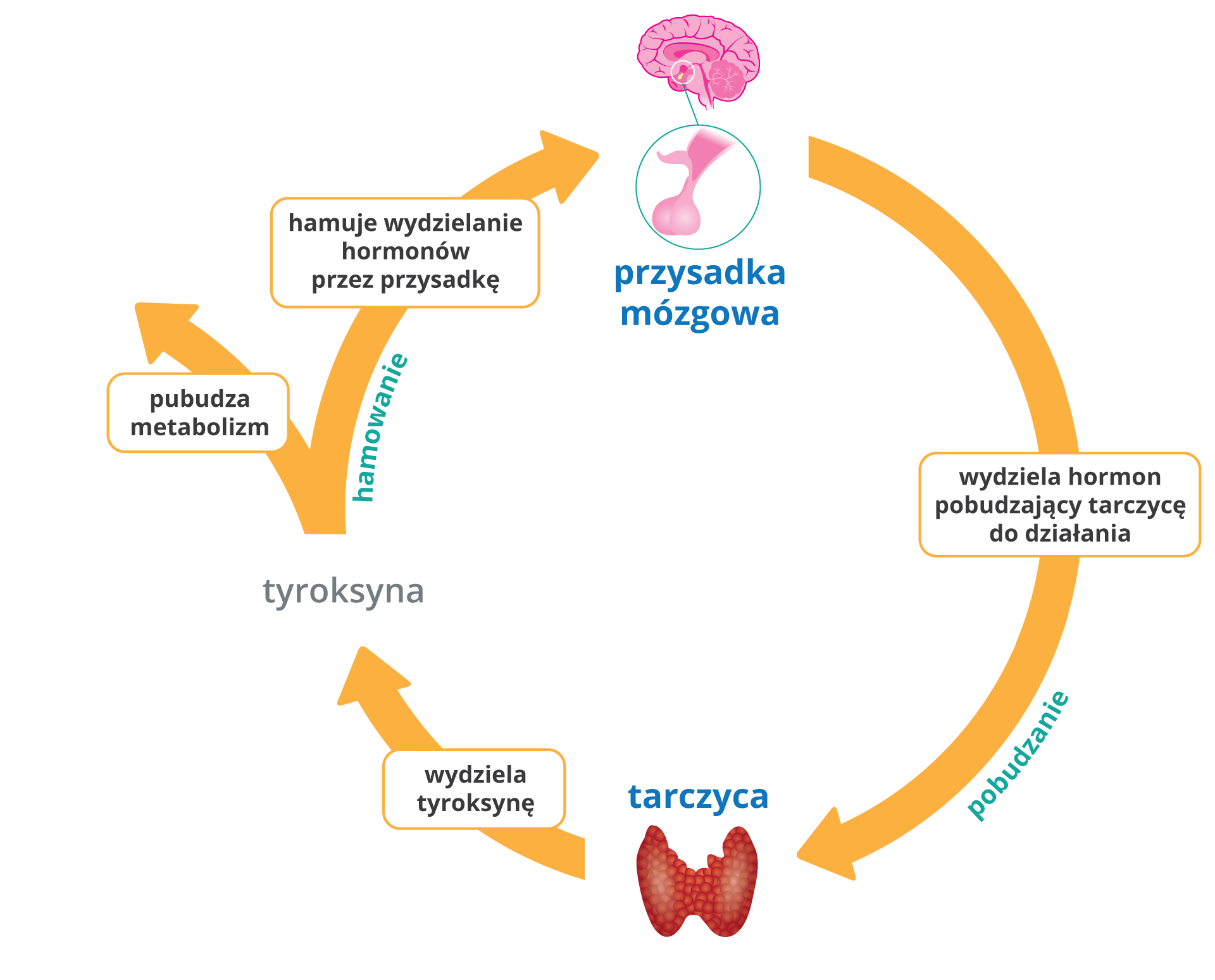 Ilustracja przedstawia regulację pracy tarczycy przez przysadkę mózgową na zasadzie ujemnego sprzężenia zwrotnego. Gdy we krwi jest mało tyroksyny przysadka pobudza tarczycę do jej wytwarzania; gdy poziom tyroksyny jest zbyt wysoki, przysadka wpływa na tarczycę, która ogranicza produkcję tyroksyny.