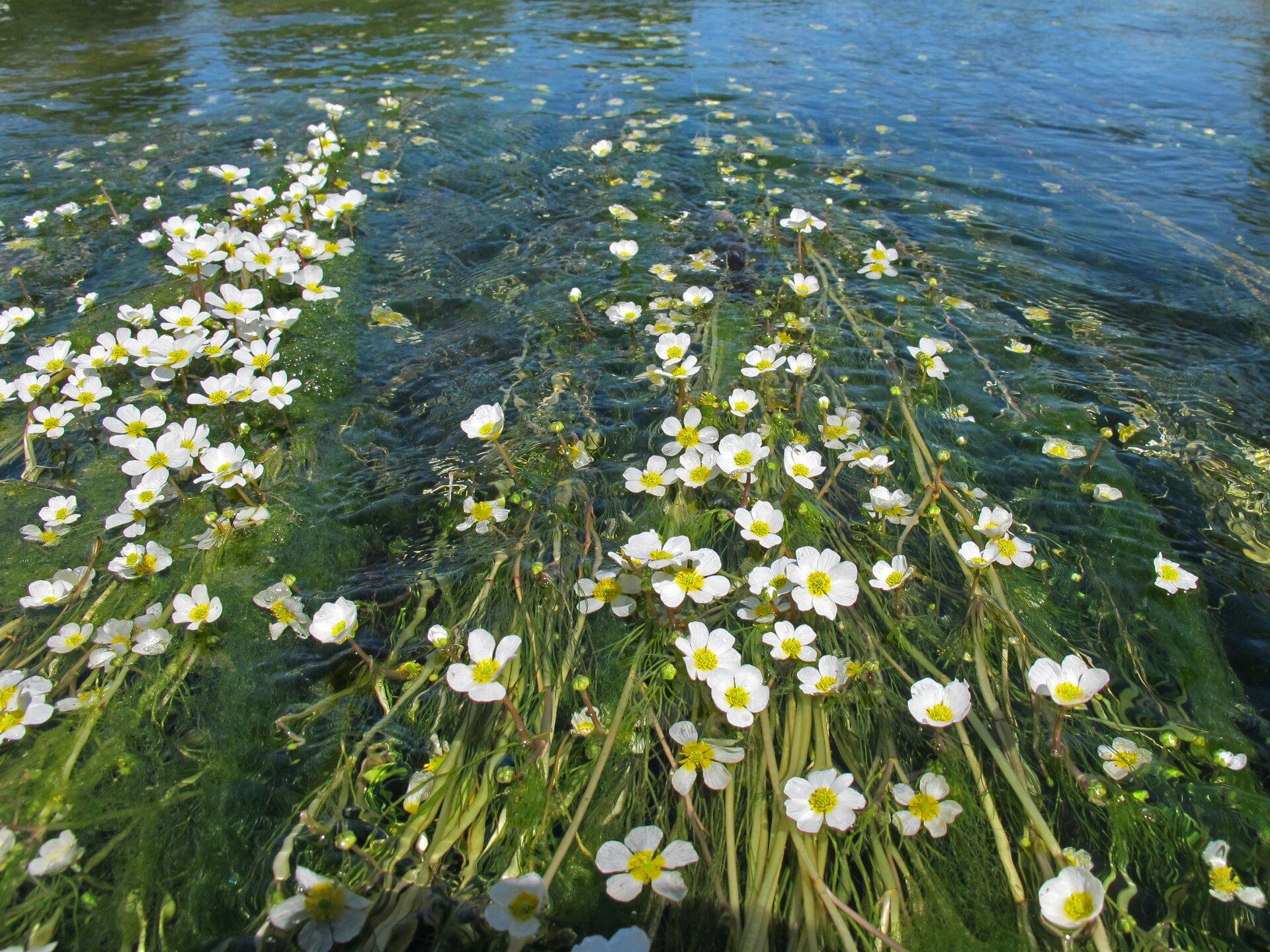 Fotografia przedstawia ciek zlicznymi kwitnącymi roślinami jaskra wodnego. Wydłużone pędy roślin układają się zgodnie znurtem. Nad wodę wystają kwiaty zpięcioma białymi płatkami iżółtym środkiem.