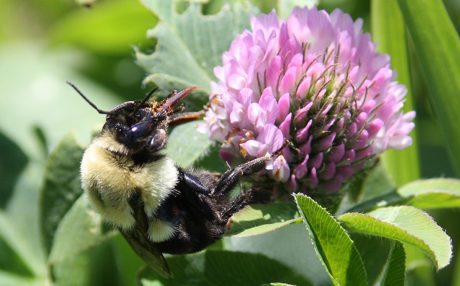 Fotografia koniczyny łąkowej (kwiatostanu) zsiedzącym na nim trzmielem. Widać aparat gębowy trzmiela.