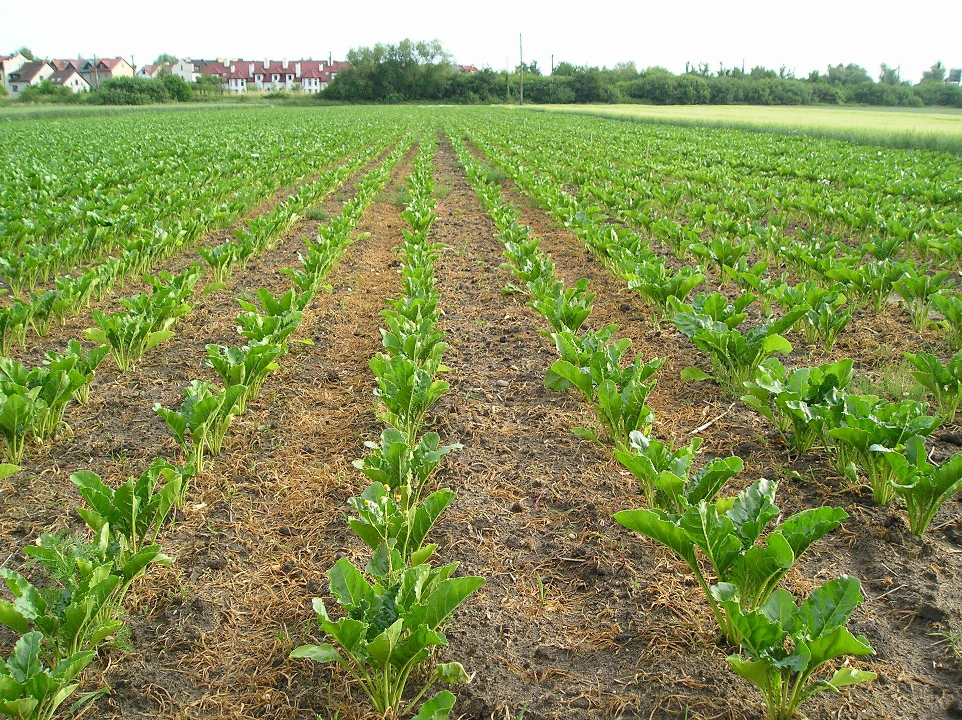 Na zdjęciu pole buraków, równe rzędy młodych roślin.