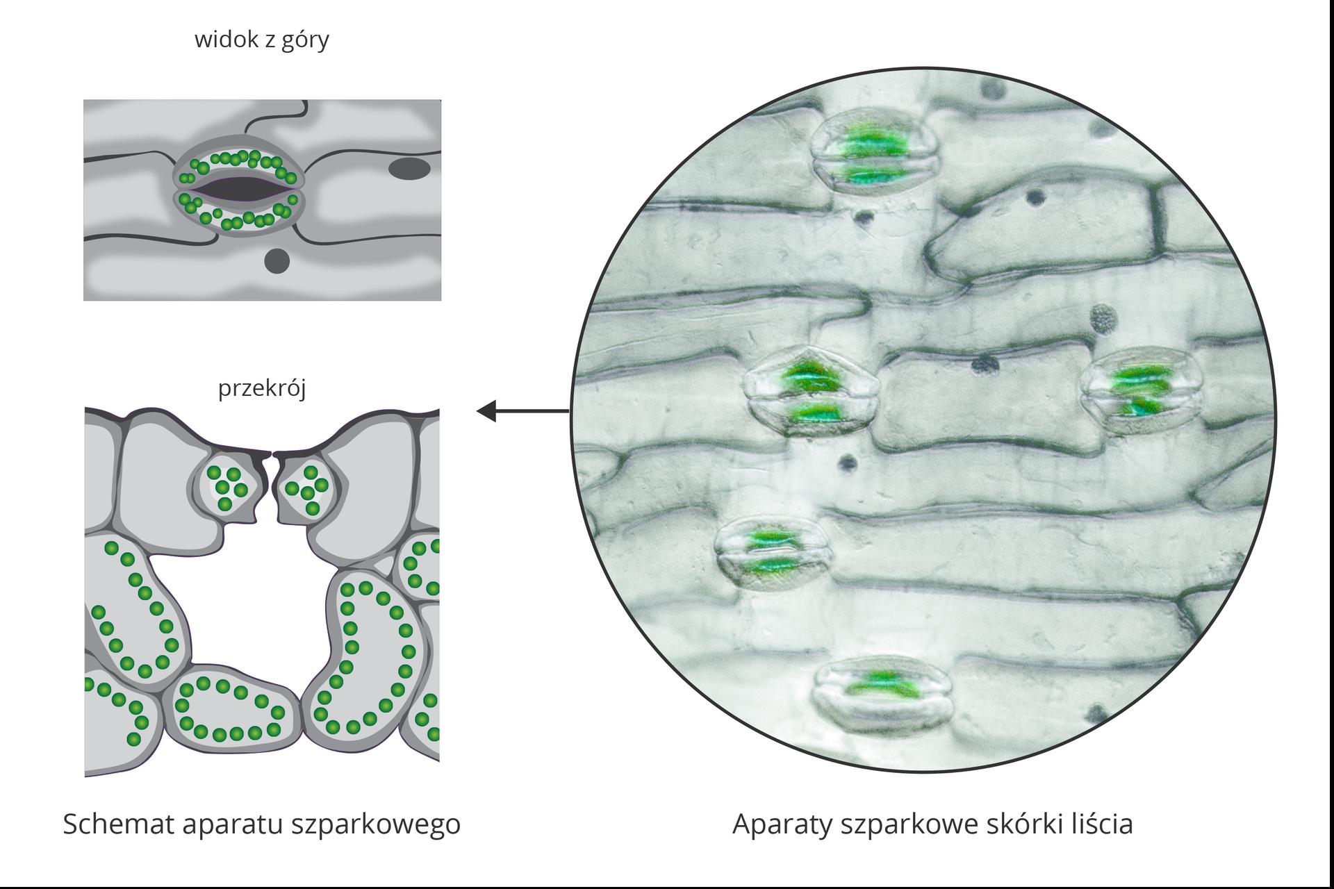 Ilustracja przedstawia trzy zielone rysunki aparatów szparkowych wpowiększeniu mikroskopowym. Pierwszy od góry to widok otwartej szparki. Dwie stykające się końcami, kiełbaskowate komórki mają wewnątrz liczne ciemne ziarna – chloroplasty. Poniżej ukazano przekrój poprzeczny przez aparat szparkowy. Zielone komórki zchloroplastami otaczają pustą przestrzeń. Po prawej wkole fotografia mikroskopowa skórki zkomórkami szparkowymi.