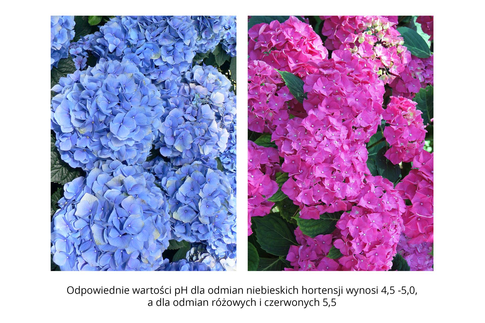 Ilustracja przedstawia dwa sąsiadujące ze sobą zdjęcia kwitnącego krzewu hortensji. Kwiaty na zdjęciu po lewej stronie mają intensywnie niebieski kolor, ana zdjęciu po prawej stronie różowo czerwony.