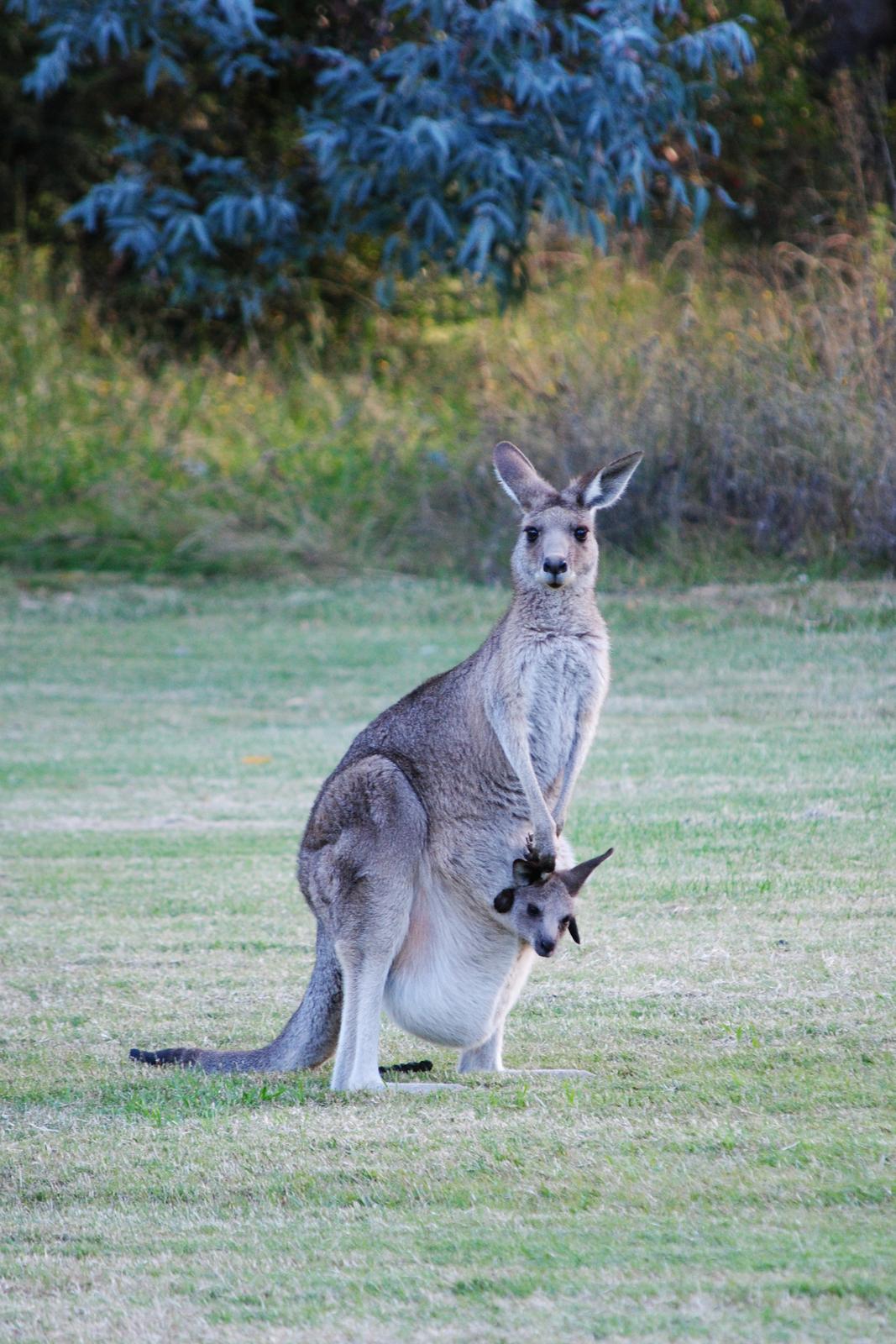 Fotografia przedstawia siedzącą na tylnych łapach beżową samicę kangura. Głowa skierowana do przodu, wygląda na zaniepokojoną. Na brzuchu jasny, workowaty fałd. Wychyla się zniego głowa małego kangura zciemnymi uszami. Samica łapą dotyka głowy małego.
