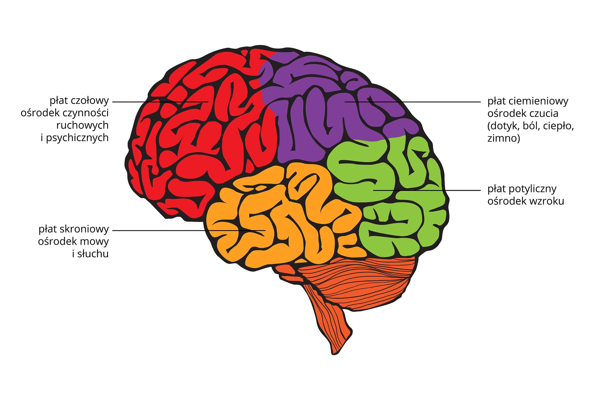 Ilustracja przedstawia mózgowie. Brązowy móżdżek zprawej. Kora mózgowa została pokolorowana, by uwidocznić płaty czynnościowe. Czerwony płat czołowy to ośrodek czynności ruchowych ipsychicznych. Fioletowy płat ciemieniowy to ośrodek czucia (dotyku, bólu, temperatury). Zielony płat potyliczny to ośrodek wzroku. Żółty płat skroniowy to ośrodek mowy isłuchu.