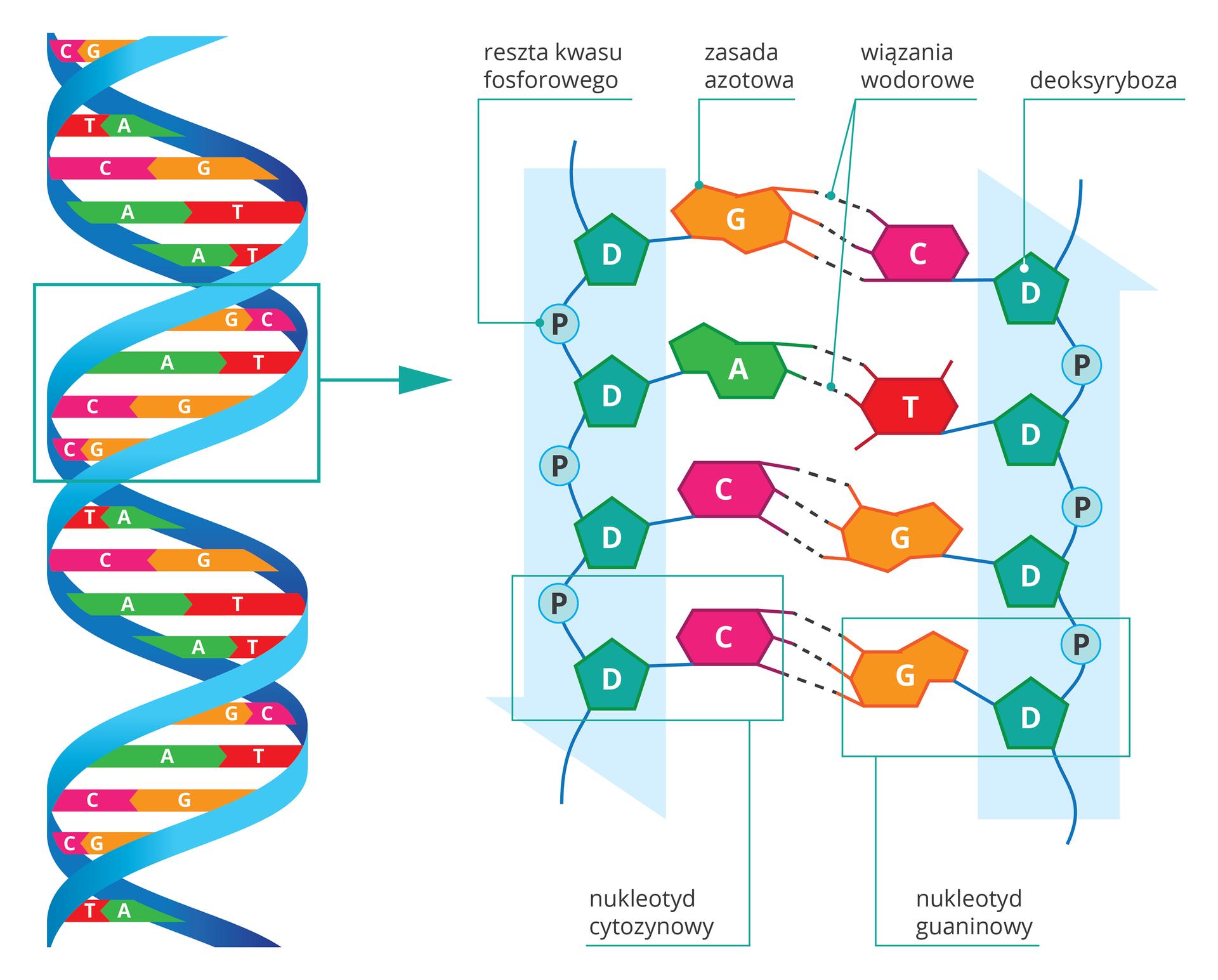 Ilustracja przestawia 2 kolorowe rysunki. Zlewej spirala DNA. Dwieniebieskie, skręcone nici są połączone szczebelkami. Są dwa rodzaje szczebelków. Każdy składa się zdwóch części. Jedne zróżowej części zliterą Cipomarańczowej części zliterą G. Drugie zzielonej części zliterą Aiczerwonej części zliterą T. Wpowiększeniu turkusowe pięciokąty zlitera Doznaczają deoksyrybozę. Połączone znimi są niebieskie koła zliterą P, czyli reszty kwasu fosforowego. Kolorami iliterami oznaczono zasady azotowe. Między nimi przerywane kreski symbolizują wiązania wodorowe. Udołu zlewej ramką zaznaczono nukleotyd cytozy nowy, składający się zdeoksyrybozy, reszty kwasu fosforowego icytozyny. Zprawej podobnie zaznaczono nukleotyd guanin owy. Oba są połączone trzema wiązaniami wodorowymi.