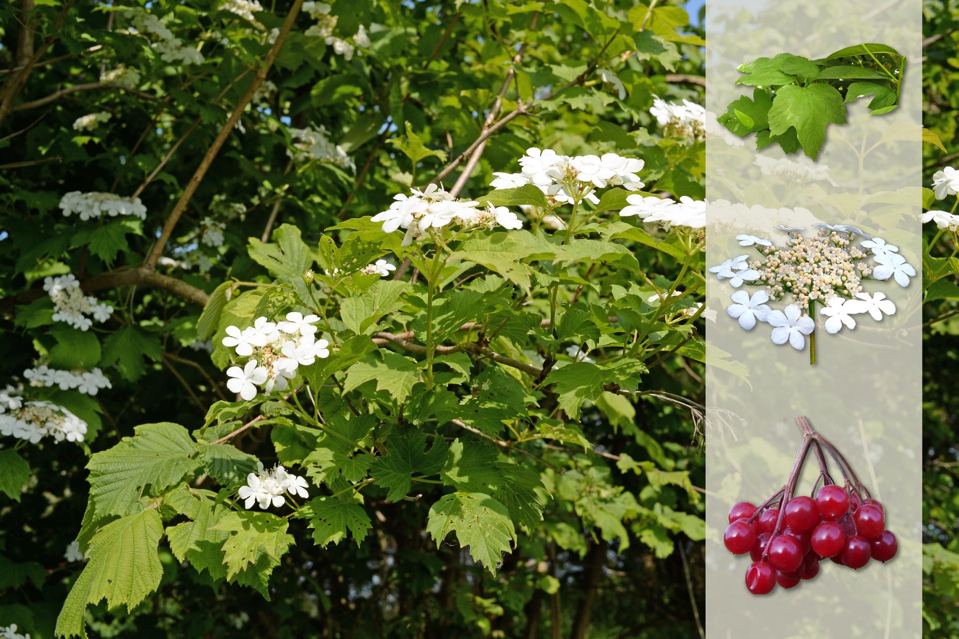 Fotografia przedstawia biało kwitnący krzew kaliny wogrodzie. Zprawej strony nałożony jaśniejszy pasek zfotografiami. Ugóry liście. Wśrodku baldachowaty kwiatostan zbiałymi kwiatami na obrzeżach. Udołu gałązka zczerwonymi, kulistymi owocami.