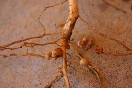 Bakterie brodawkowe iich znaczenie dla roślin